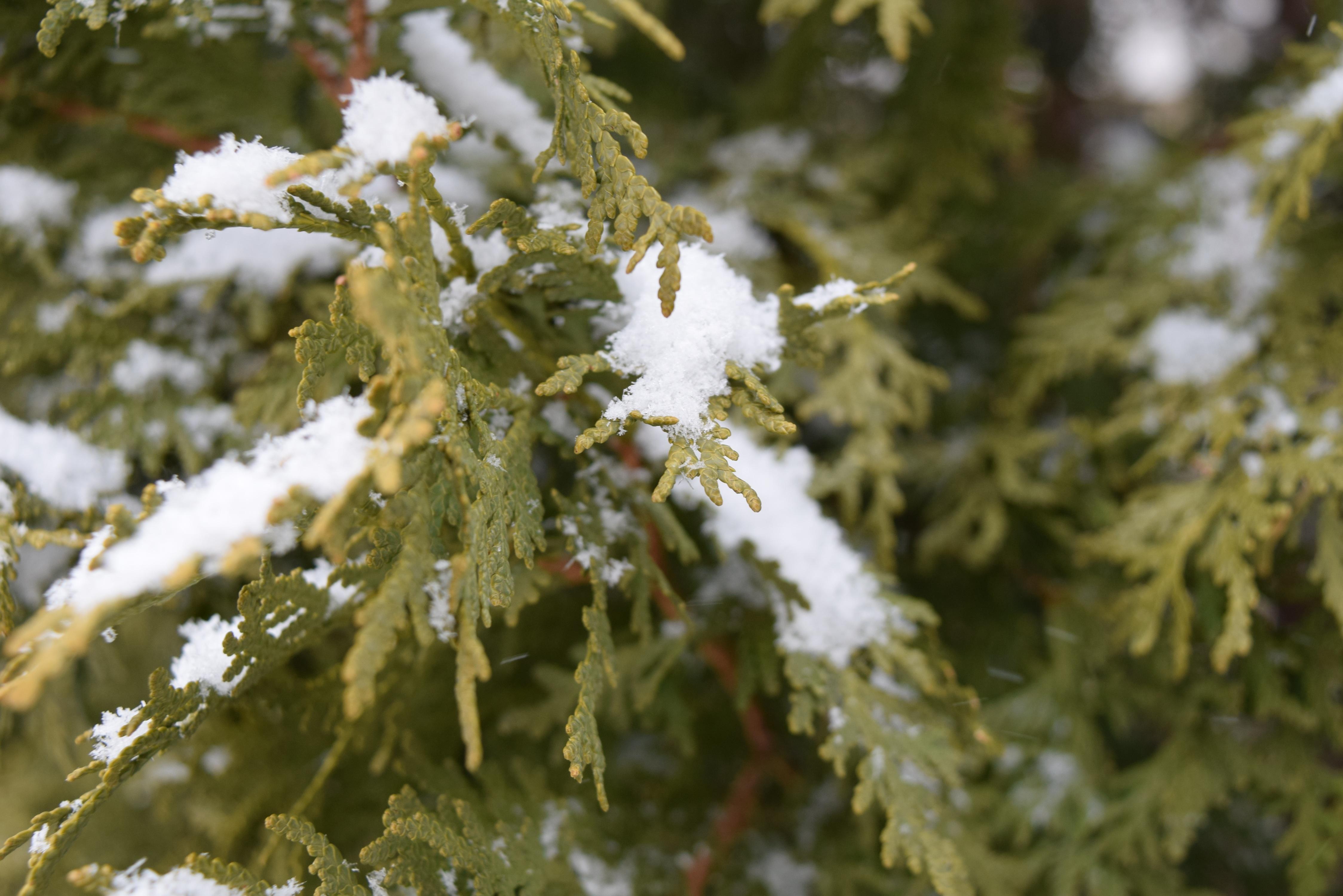 Baum Natur Ast Schnee Winter Pflanze Blatt Blume Frost Eis Grün Wetter Tanne Flora Jahreszeit Zweig