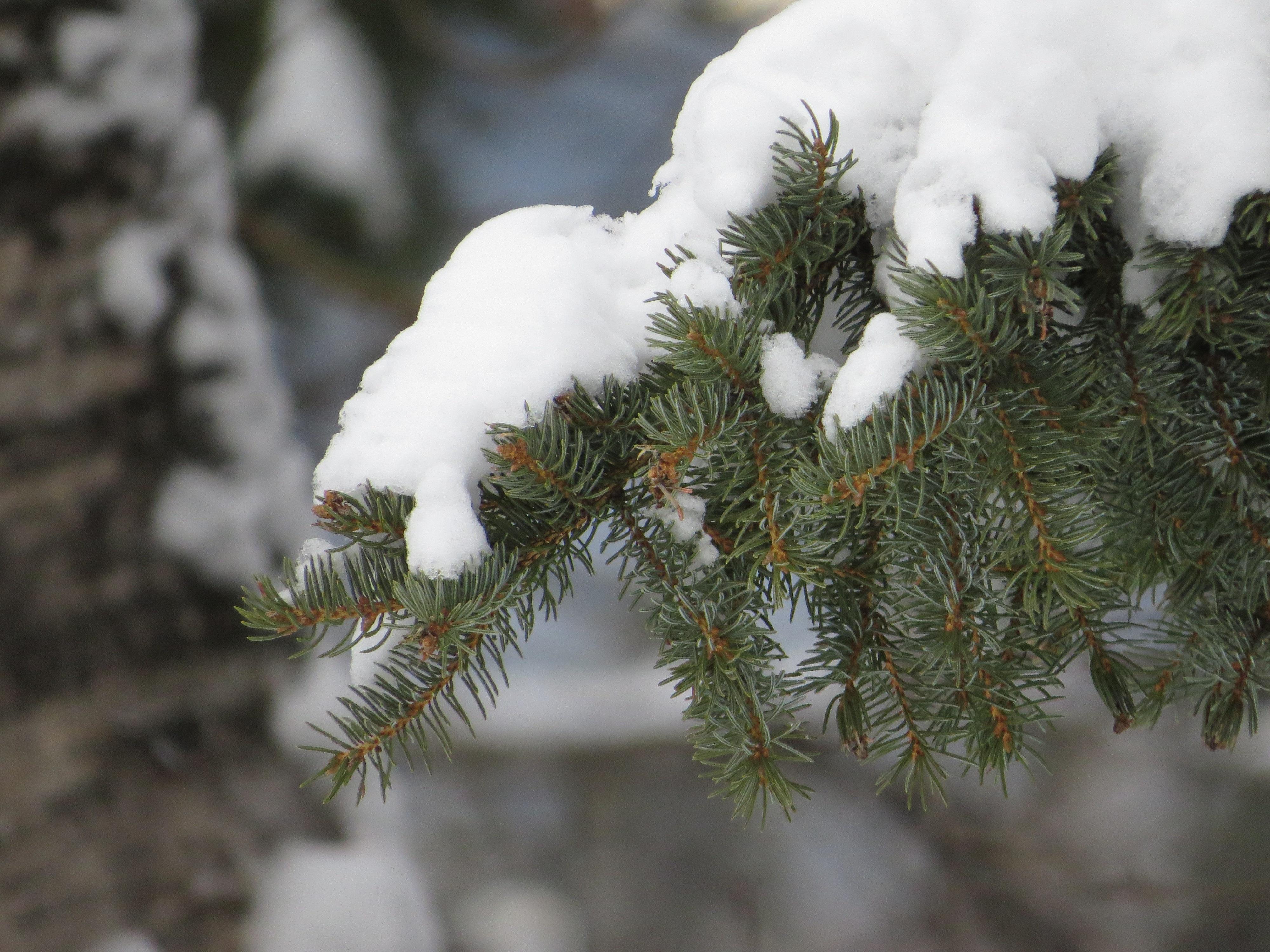 фото красивые ели под снегом летний