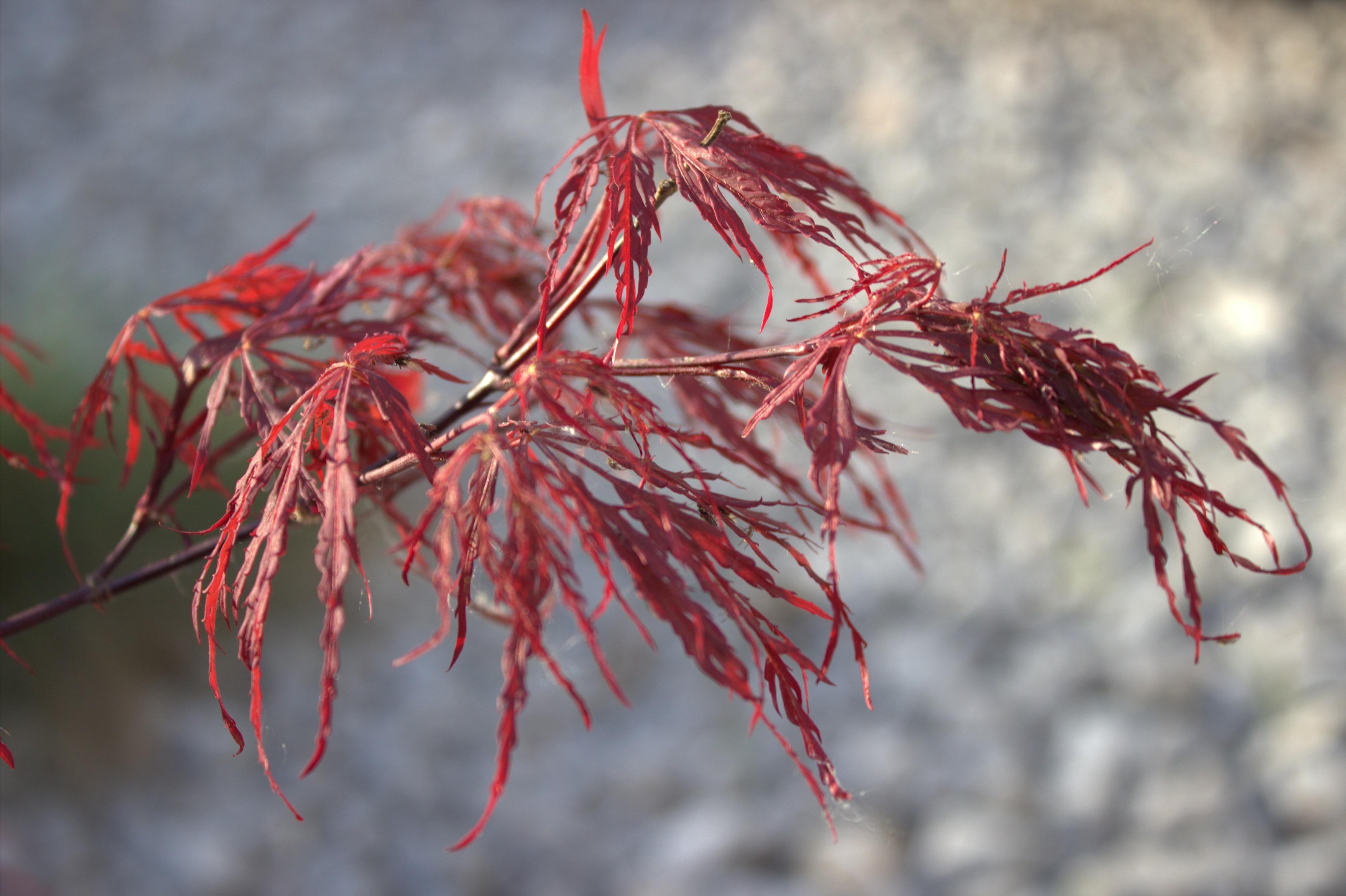 Images gratuites arbre la nature branche hiver fleur for Plante feuille rouge