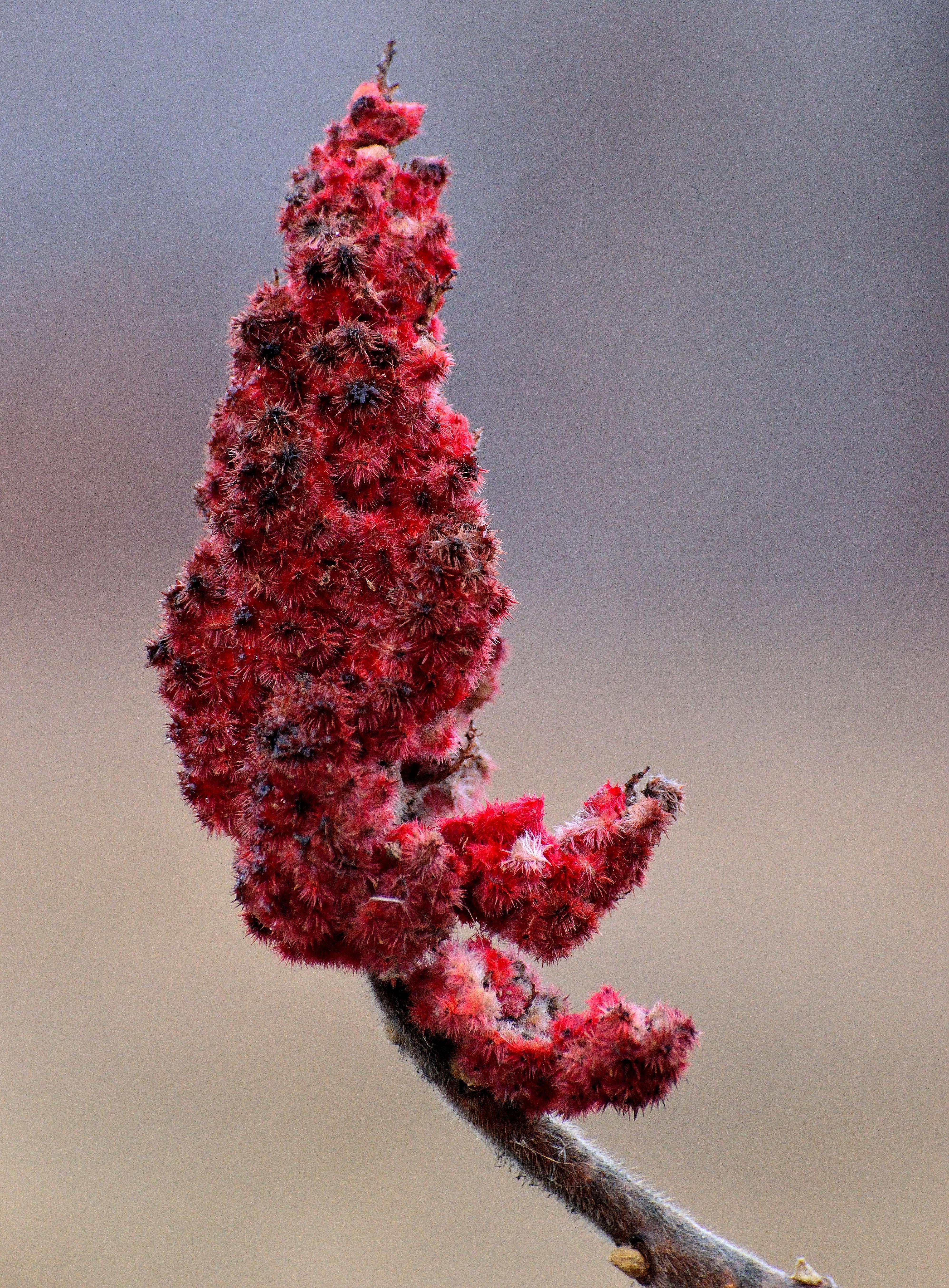 цветок сумах