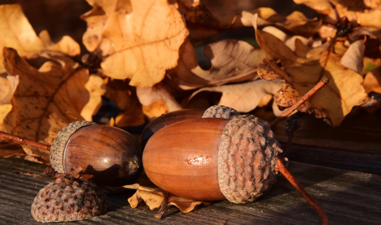 hình ảnh : thiên nhiên, chi nhánh, Gỗ, trái cây, Lá, món ăn, Sản xuất, Mùa  thu, nâu, màu vàng, Acorn, dừa, lá, hạt giống, đẹp, chạm khắc, Tháng mười  một, ...