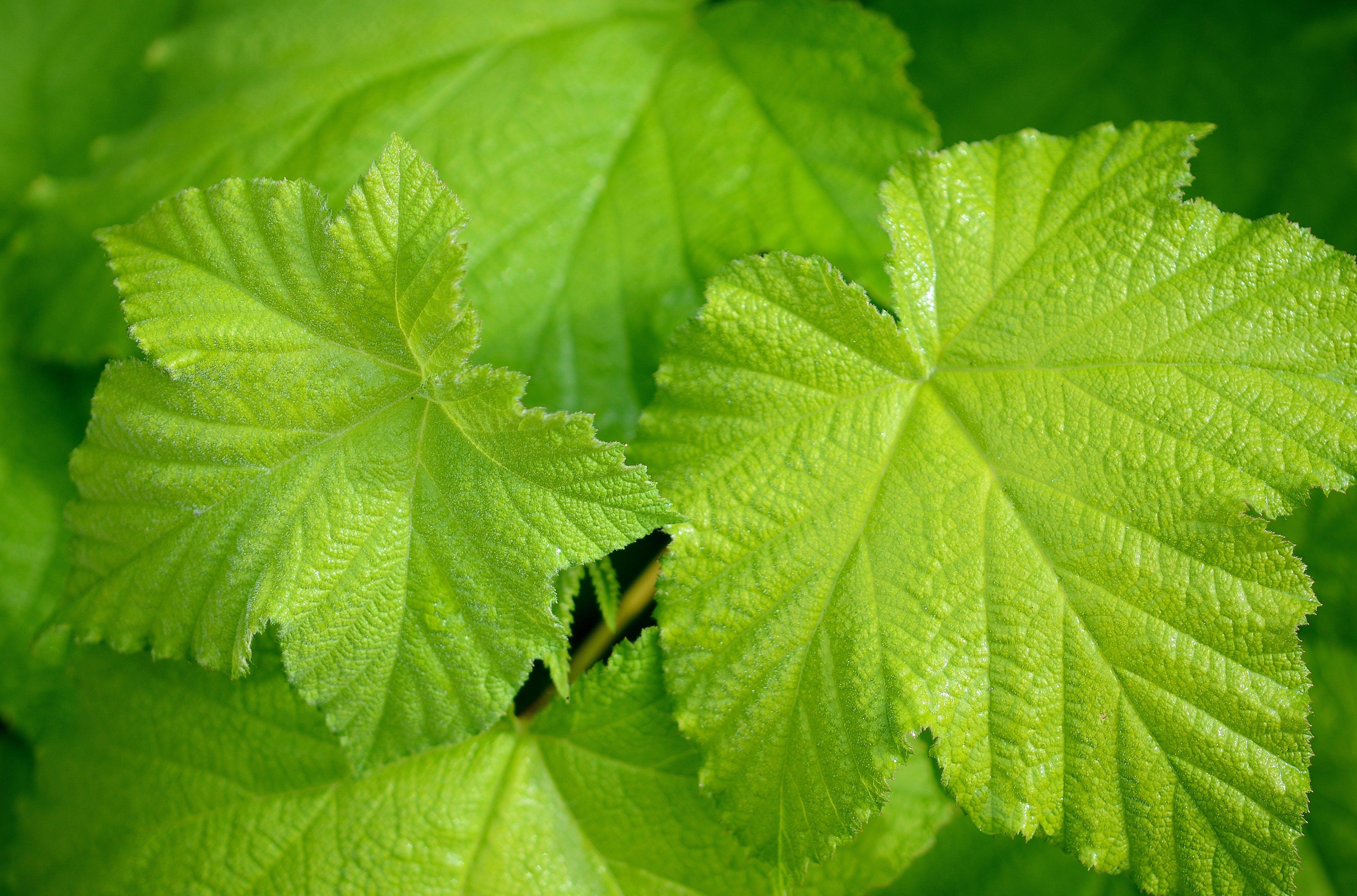 leaf nature leaves plant flower tree rain drops drop macro flowering annual grape vine herb shrub land urtica perilla produce