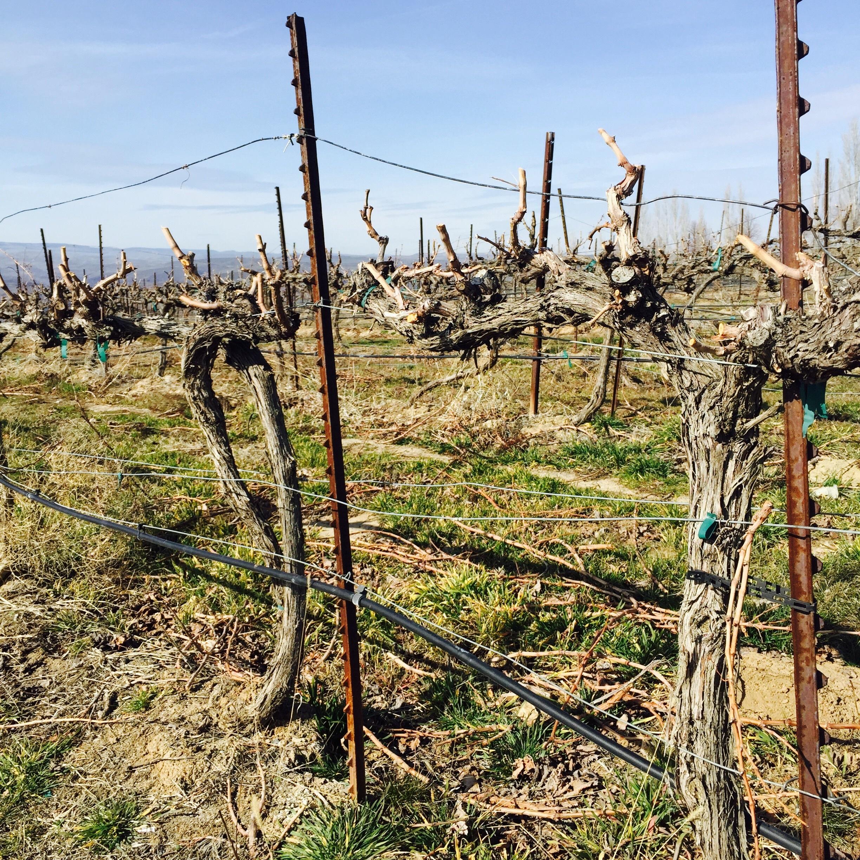 Бесплатно скачать оригинал природа растение виноград виноградная лоза виноградник связка вино фрукты пища уборка