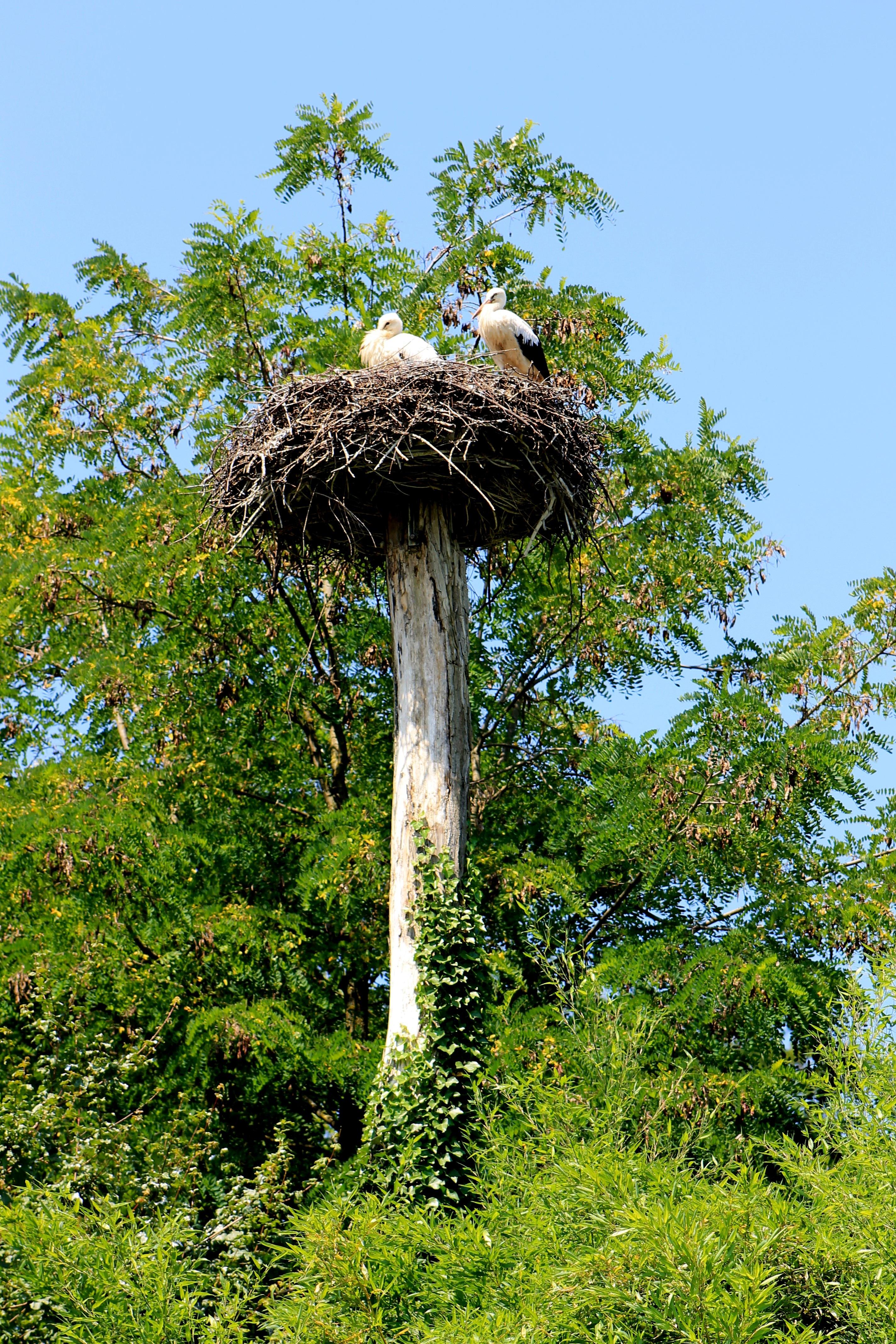 девушка фоне картинки гнездо аиста на дереве текстура