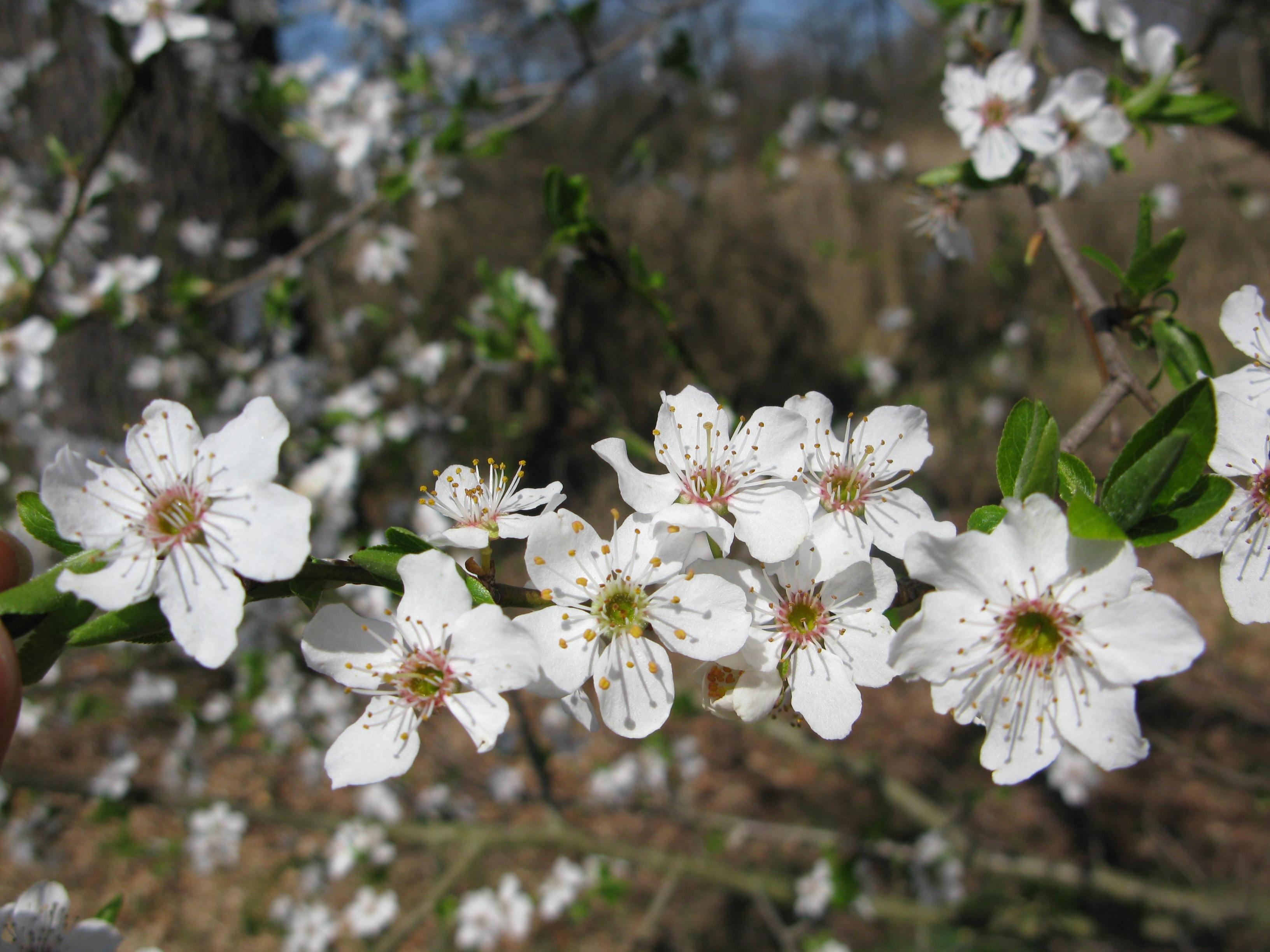 Images gratuites arbre la nature for t branche blanc for Arbres plantes fleurs
