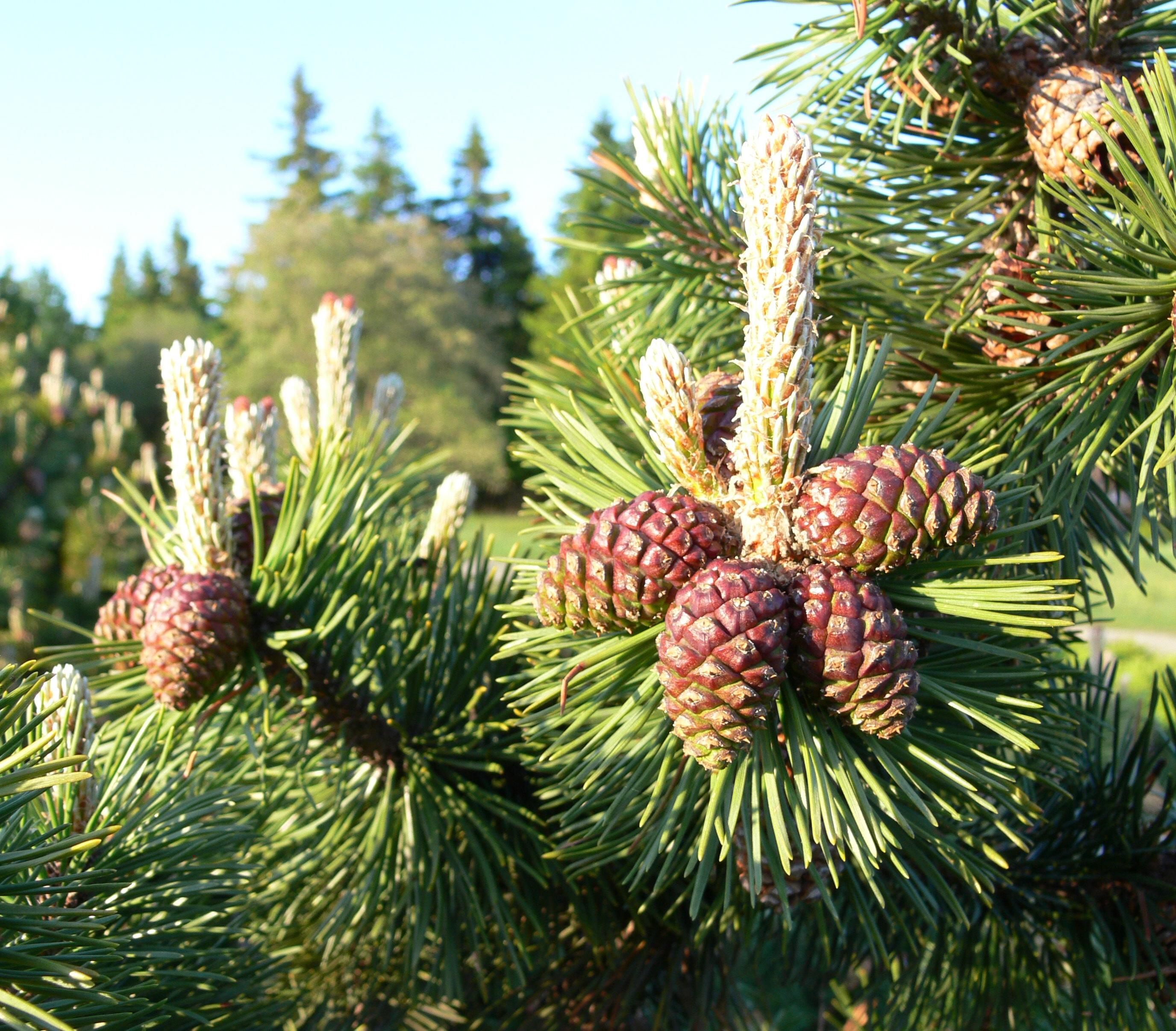 Fotos gratis rbol naturaleza bosque rama aguja for Arboles para plantar en verano