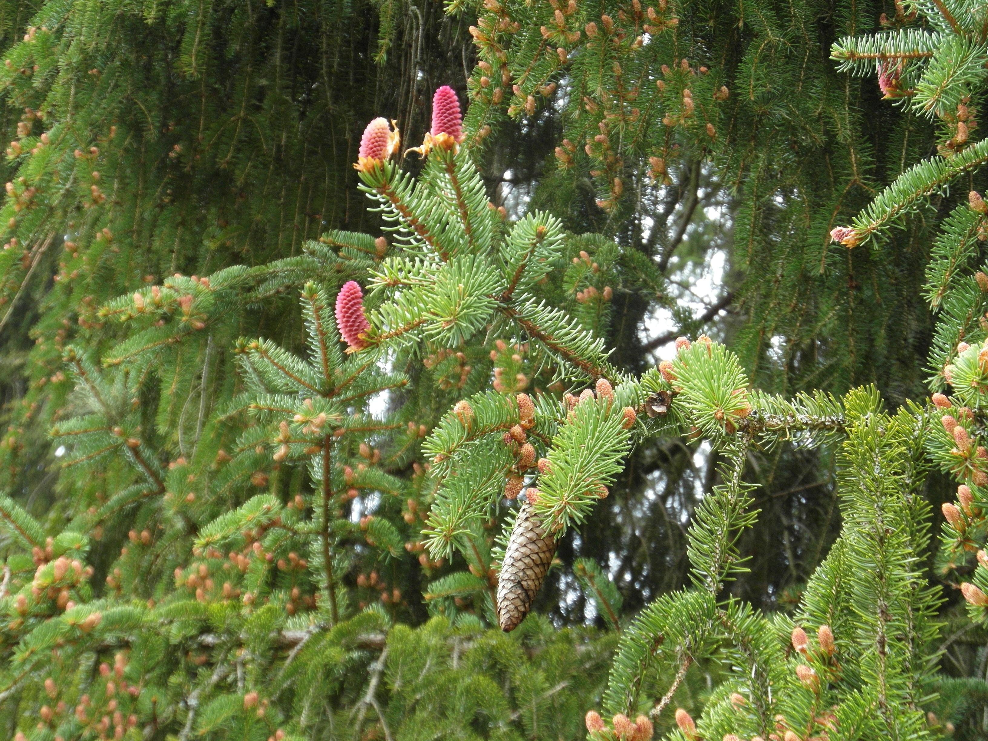 цветущее хвойное растение фото