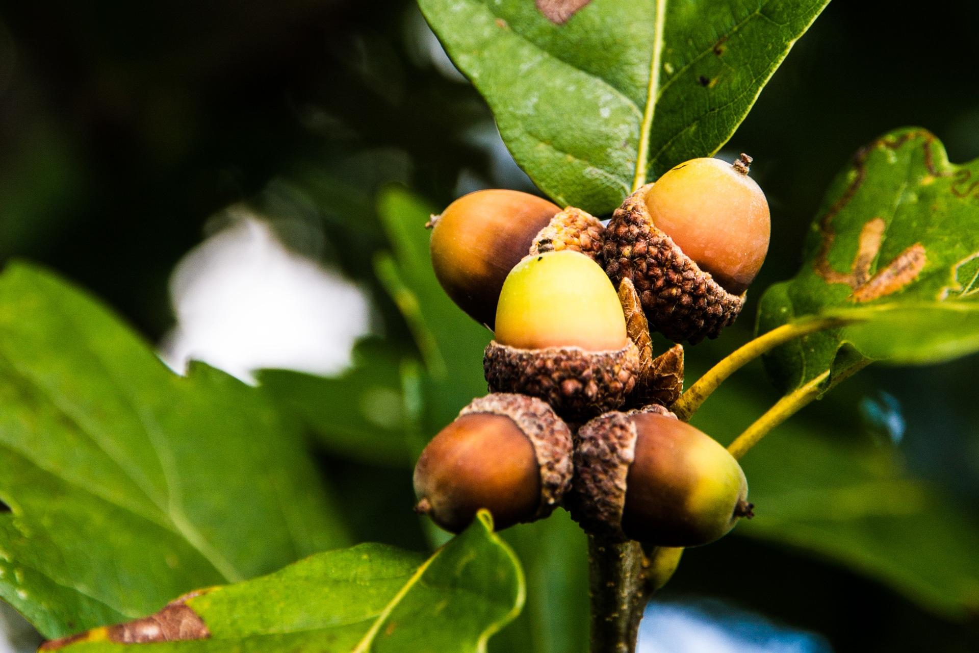 ... rừng, chi nhánh, thực vật, trái cây, món ăn, Sản xuất, Thường xanh, Mùa  thu, Hệ thực vật, cây rụng lá, Cây bụi, Cây sồi, Chồi, Acorns, ...