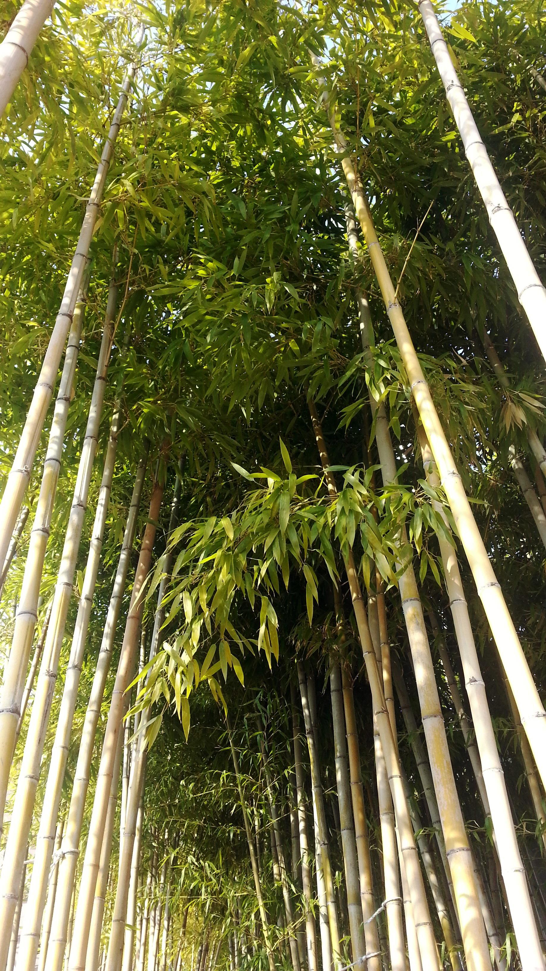 Plantas de bambu affordable bamb de hierro planta with plantas de bambu direto da fbrica - Bambu planta exterior ...