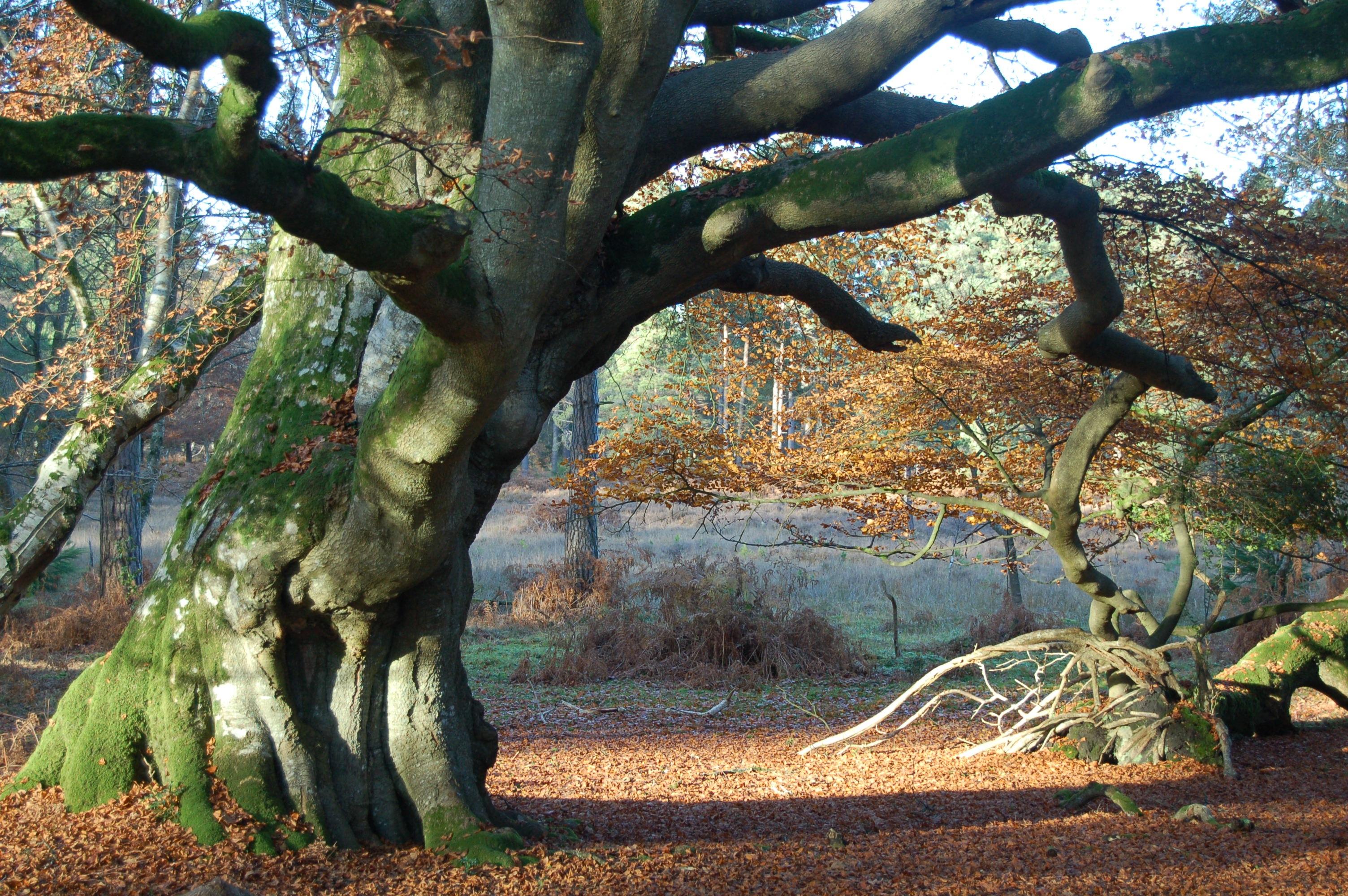 Картинки старинных деревьев