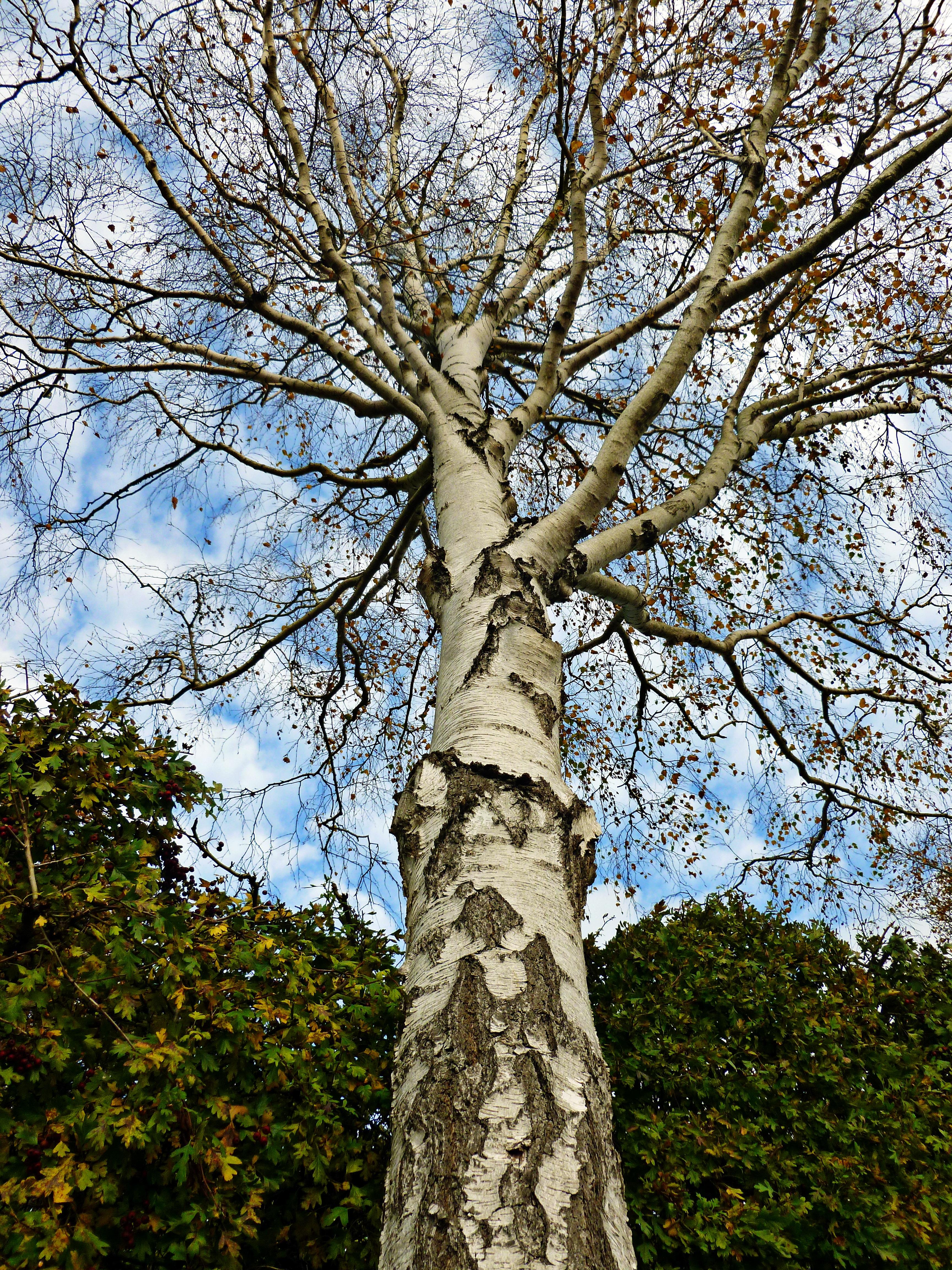 Fotos gratis : árbol, naturaleza, rama, madera, flor, el maletero ...