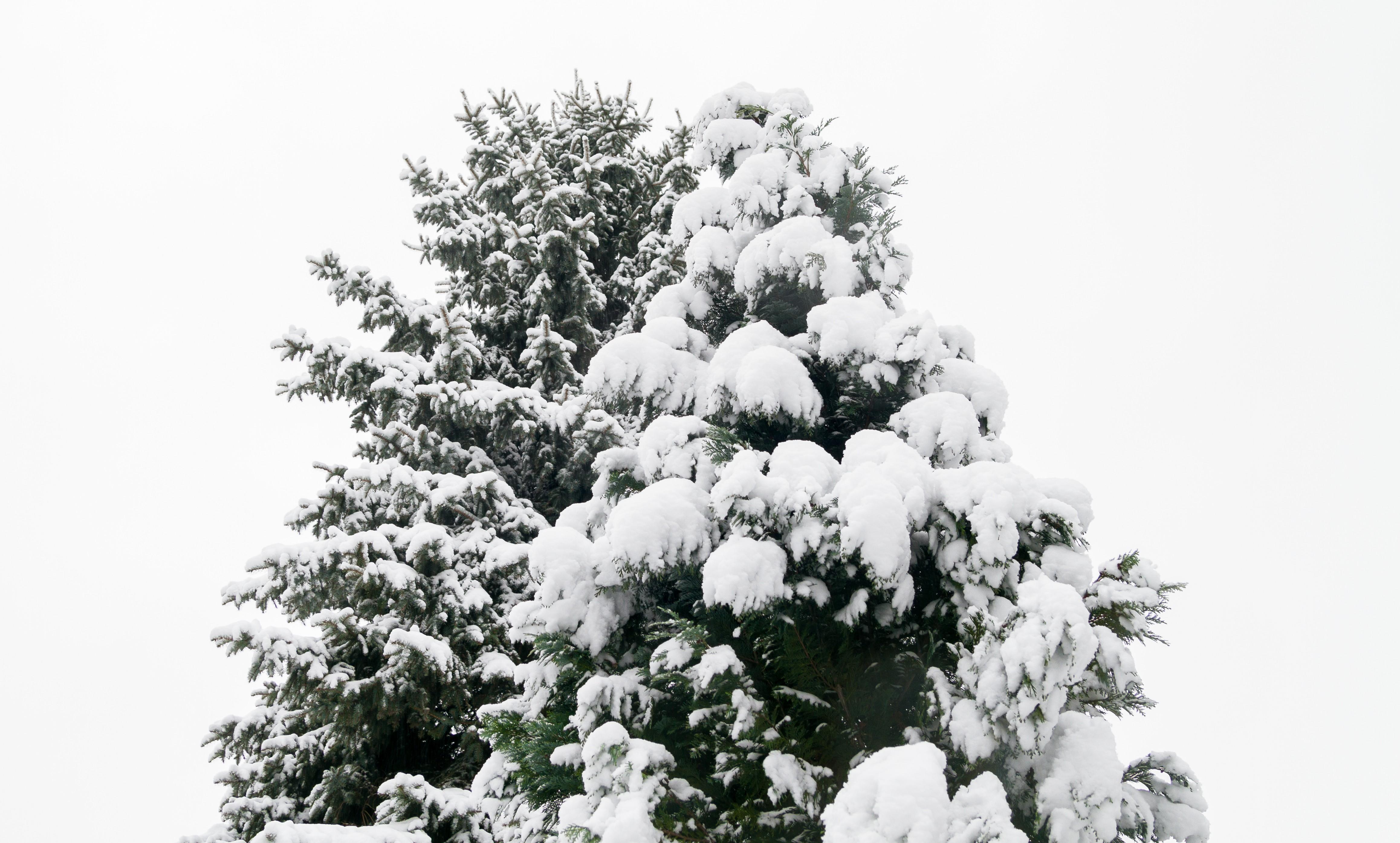 fotos gratis rbol naturaleza bosque rama nieve invierno en blanco y negro planta cielo flor escarcha pino hojas perennes clima nevado