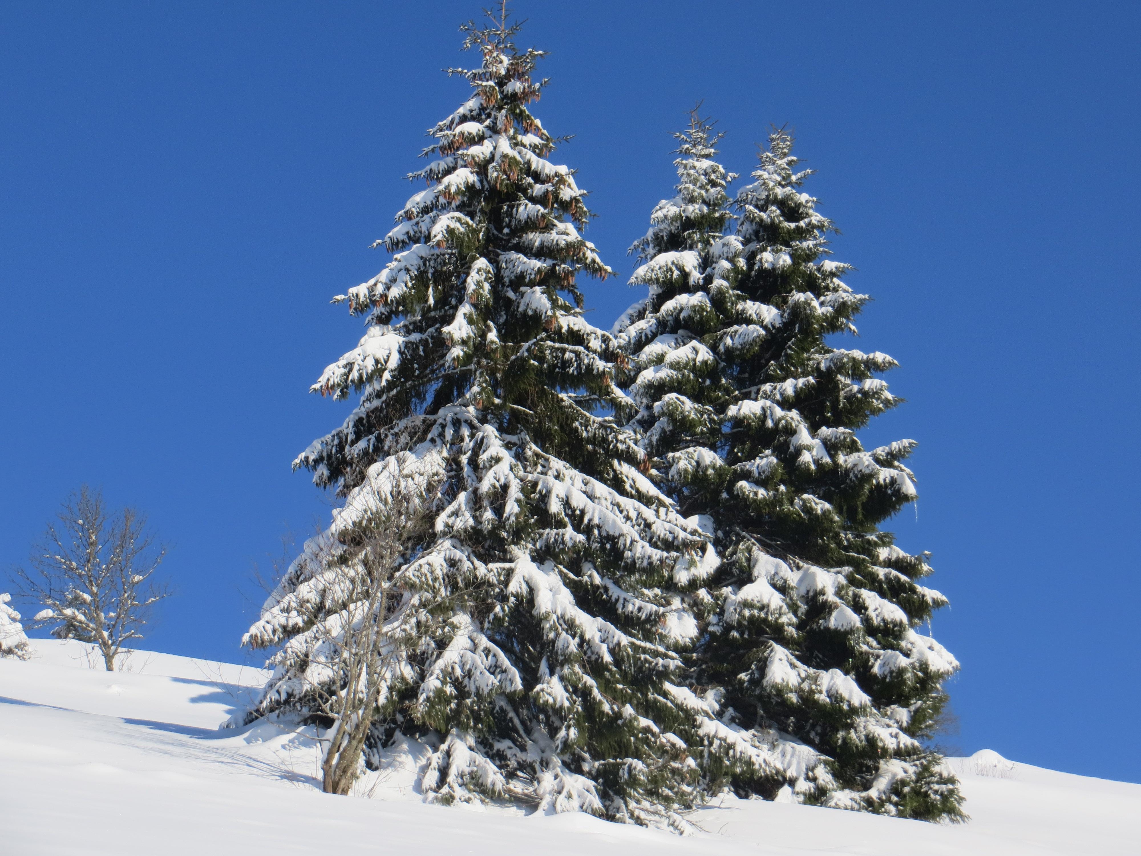fotos gratis naturaleza rama nieve planta blanco hojas perennes clima nevado azul rbol de navidad temporada confera picea invernal