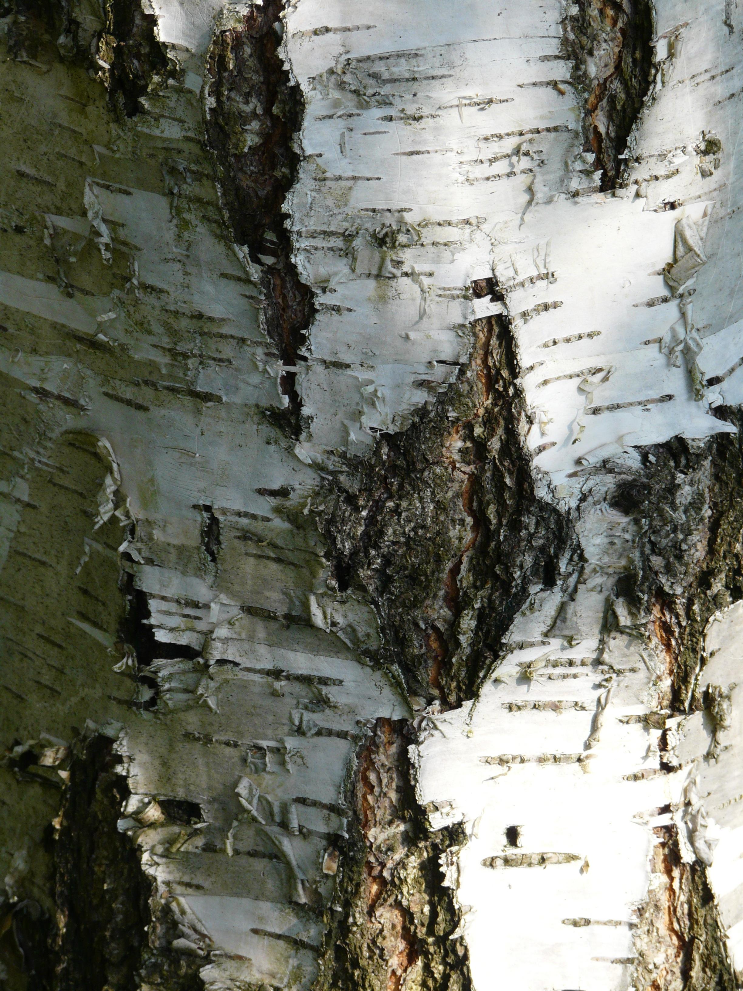 картинка кора березы осенние поделки