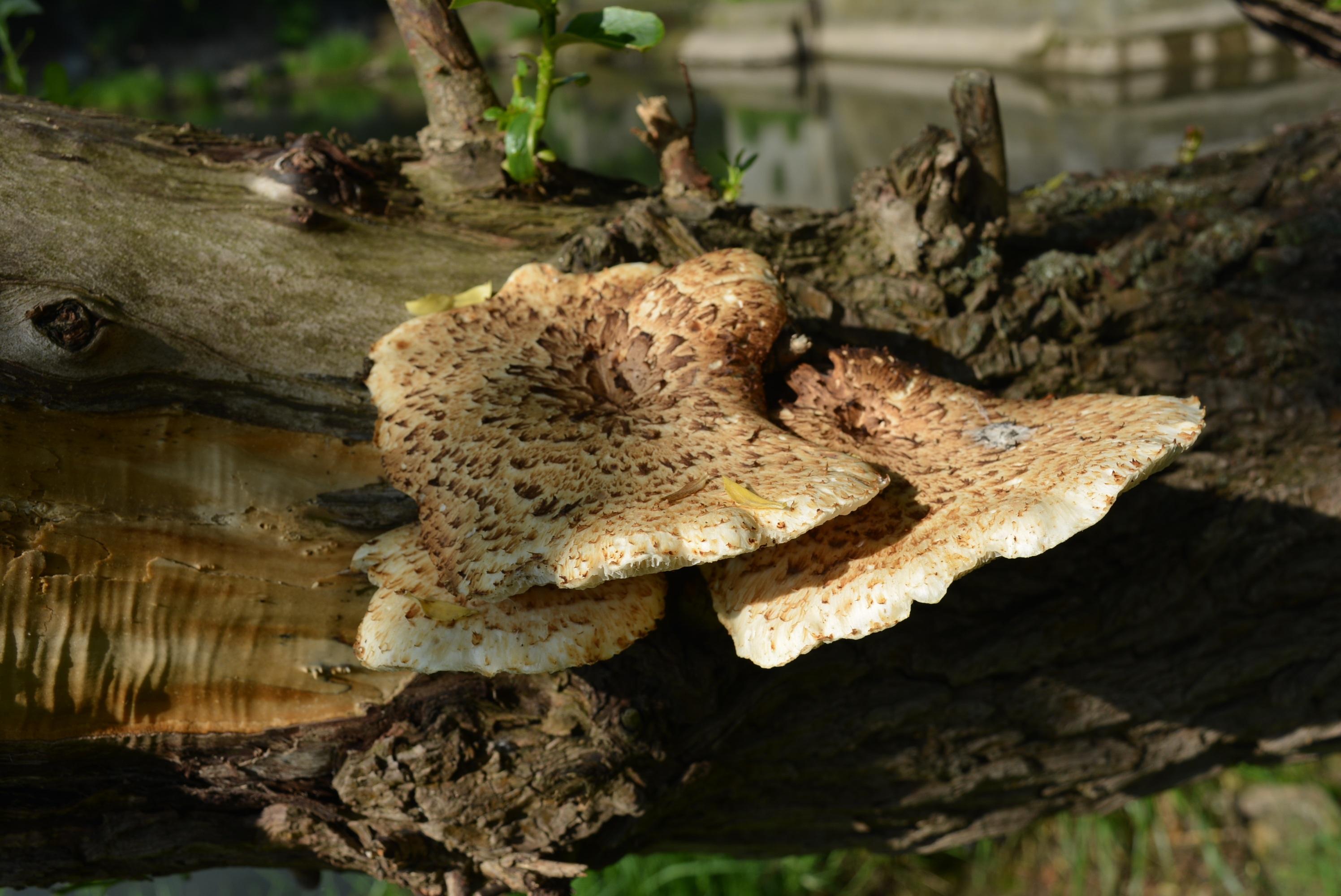 черты, также съедобные древесные грибы фото и описание этом