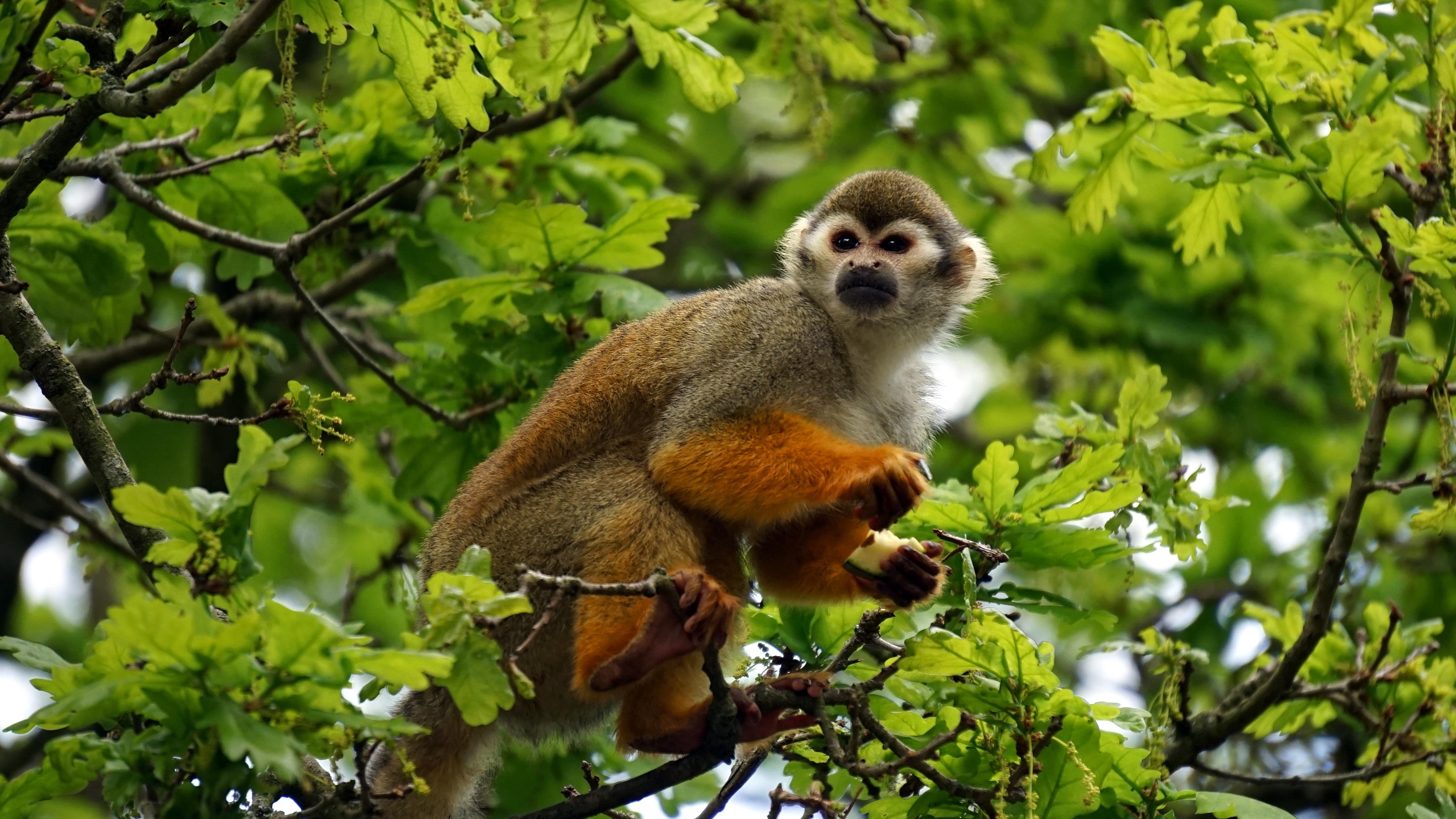 Squirrel monkeys in trees - photo#40