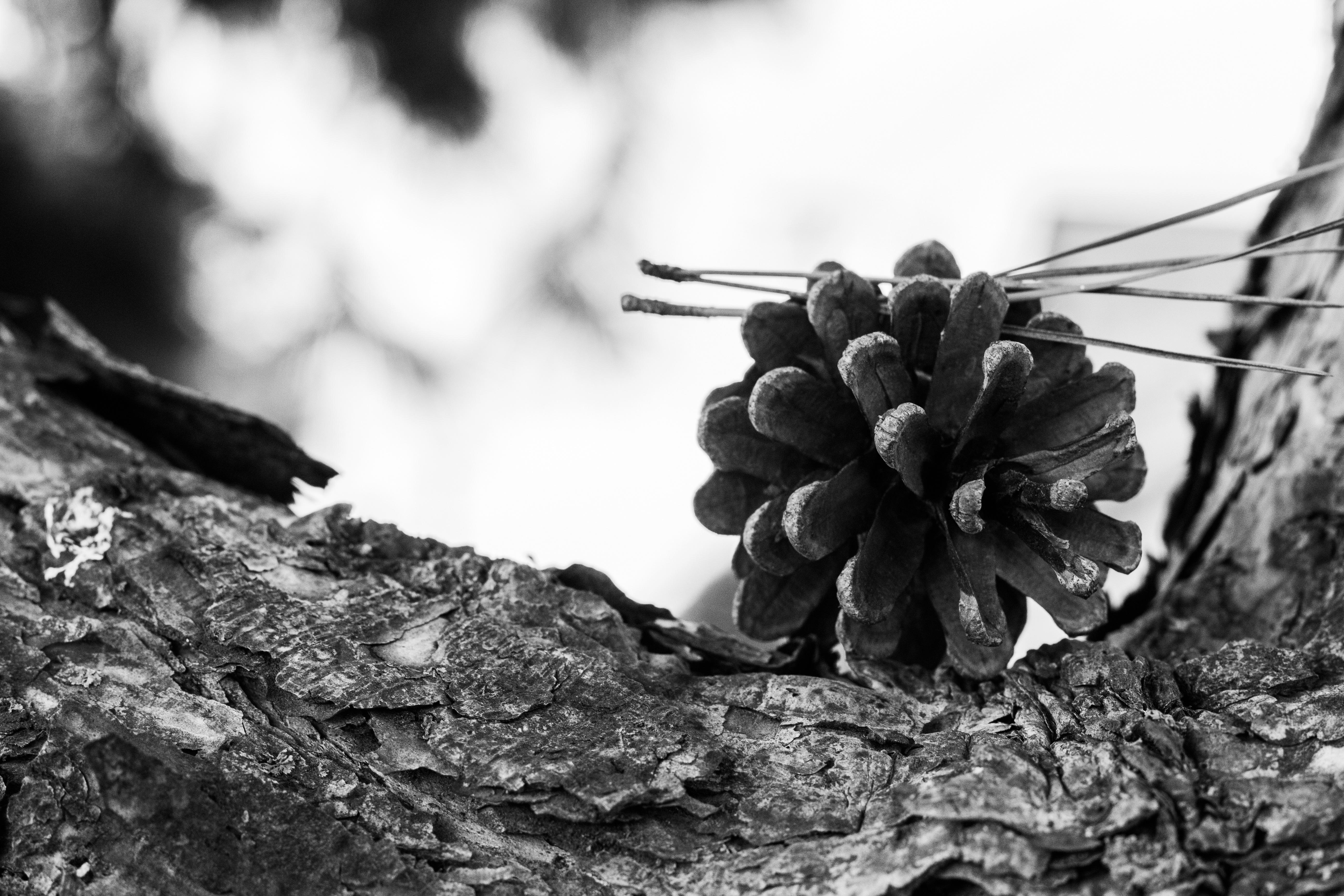 Arbre Bois Blanc Decoration images gratuites : la nature, forêt, de plein air, branche