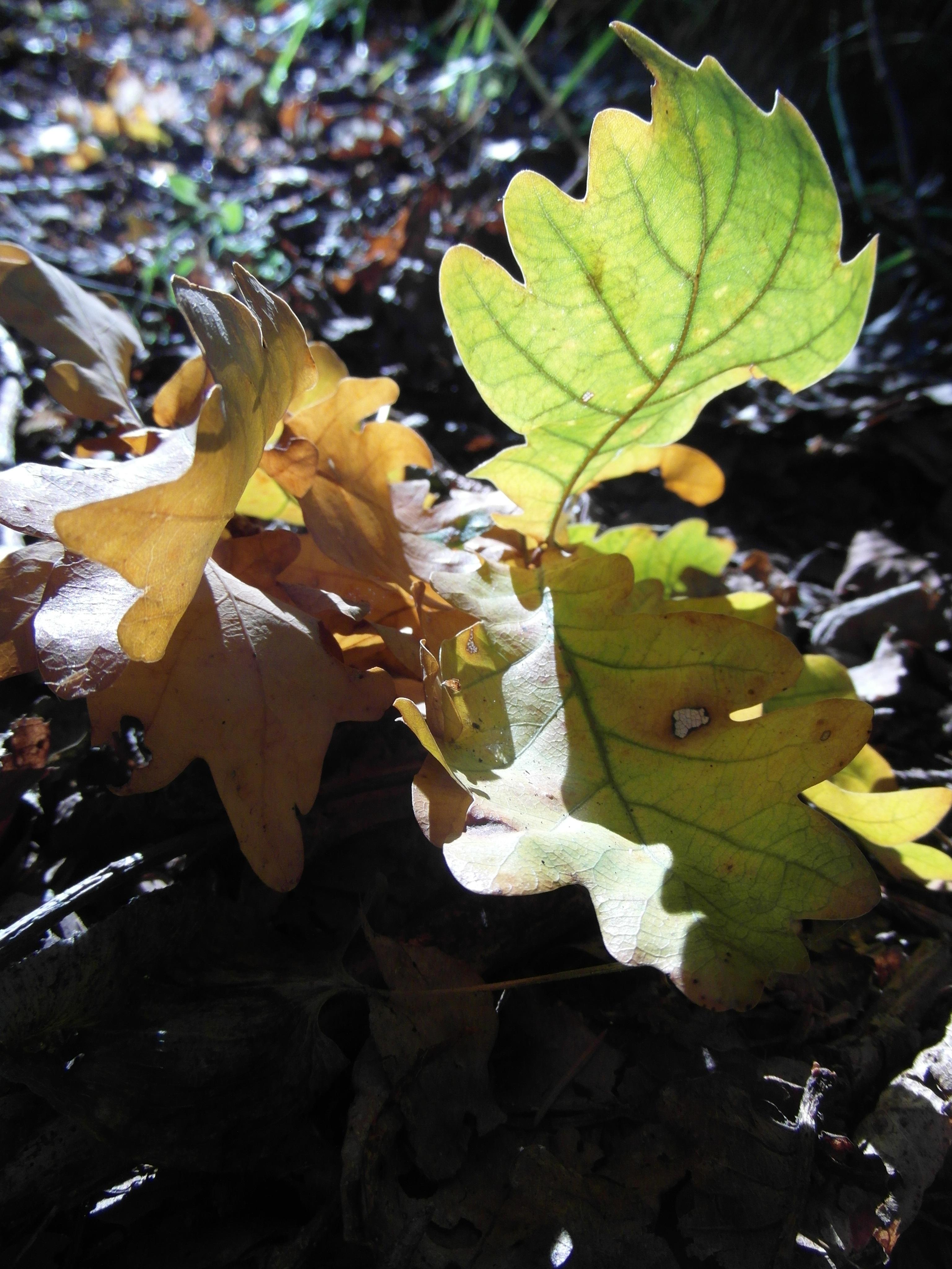 осуществляется когда дуб выпускает новую листву комфортом