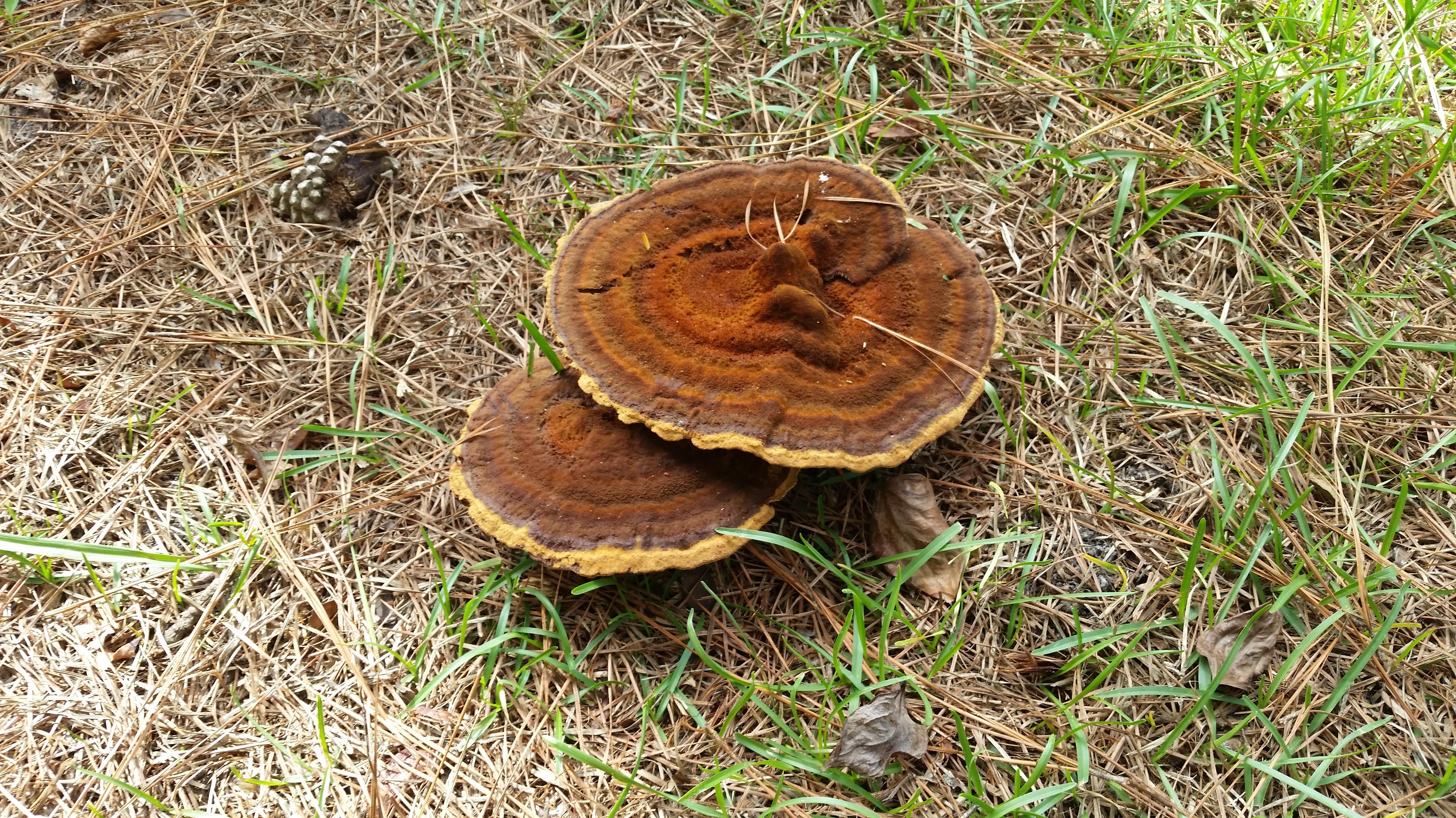 Images gratuites arbre la nature for t plante tronc naturel marron sol champignon - Champignon sur tronc d arbre ...