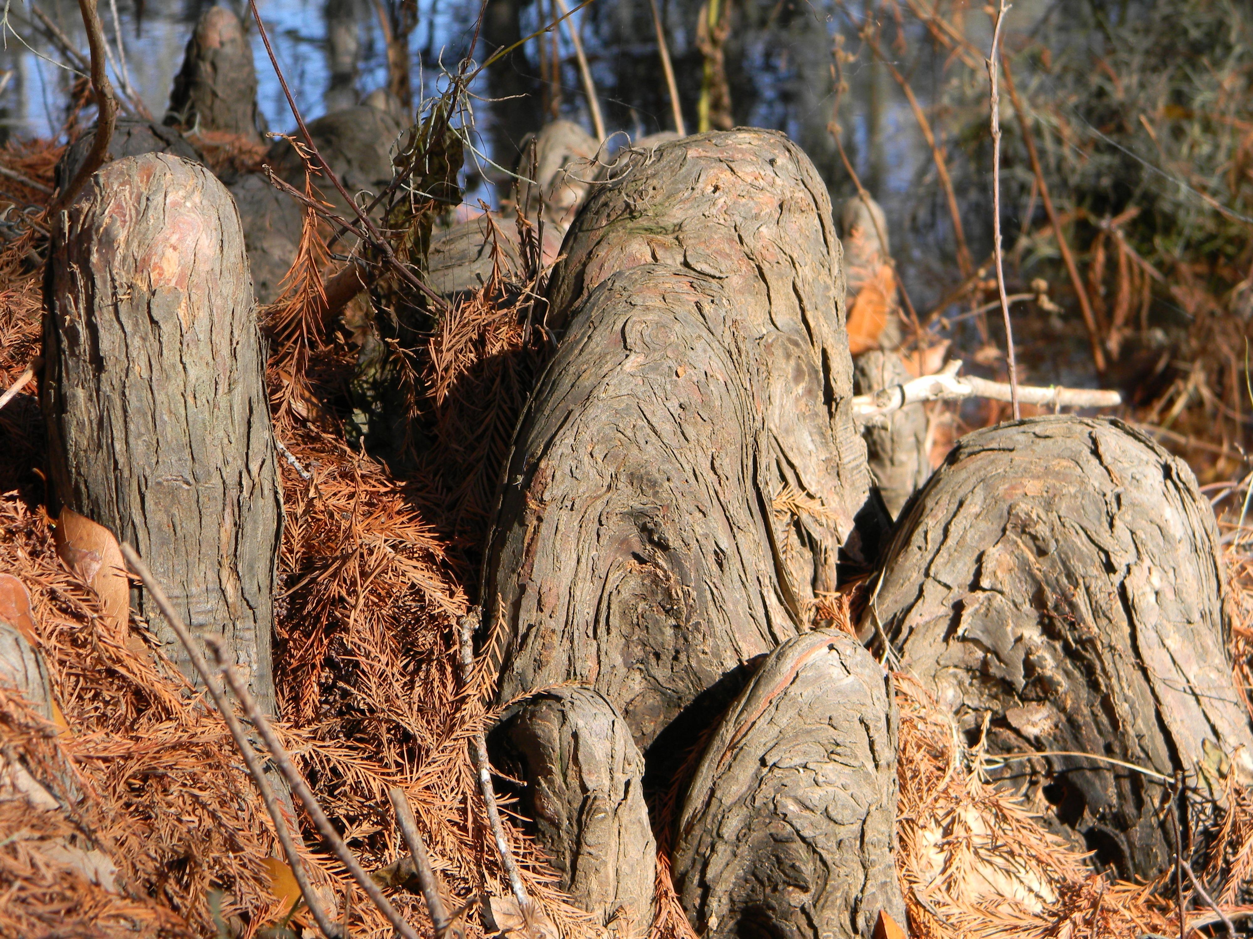 images gratuites arbre la nature for t marais r gion sauvage branche plante feuille. Black Bedroom Furniture Sets. Home Design Ideas