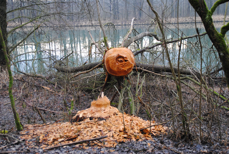 Images gratuites arbre la nature for t r gion sauvage for Castor habitat