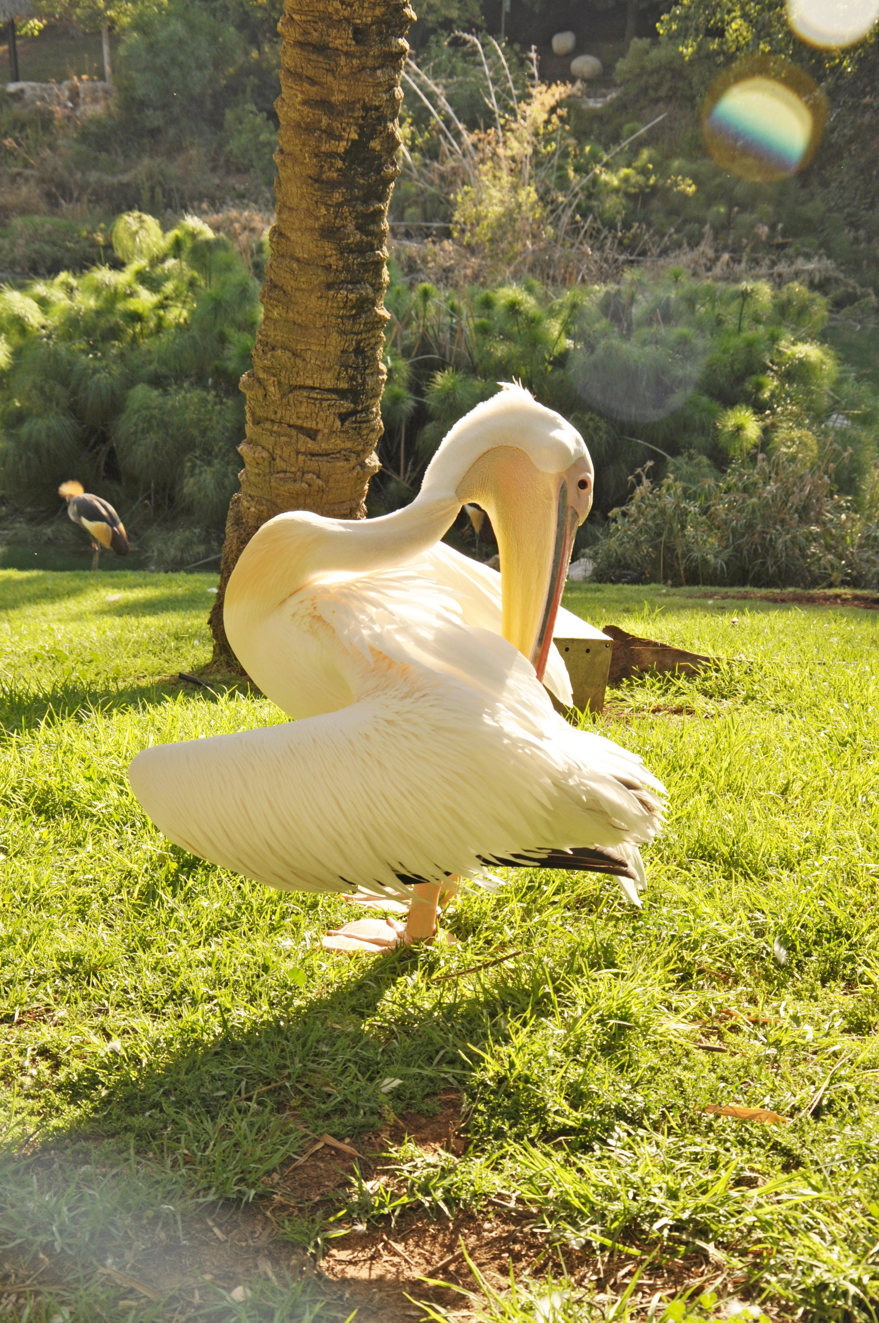 tree nature grass bird wing white lawn leaf flower animal pelican wildlife statue zoo green beak
