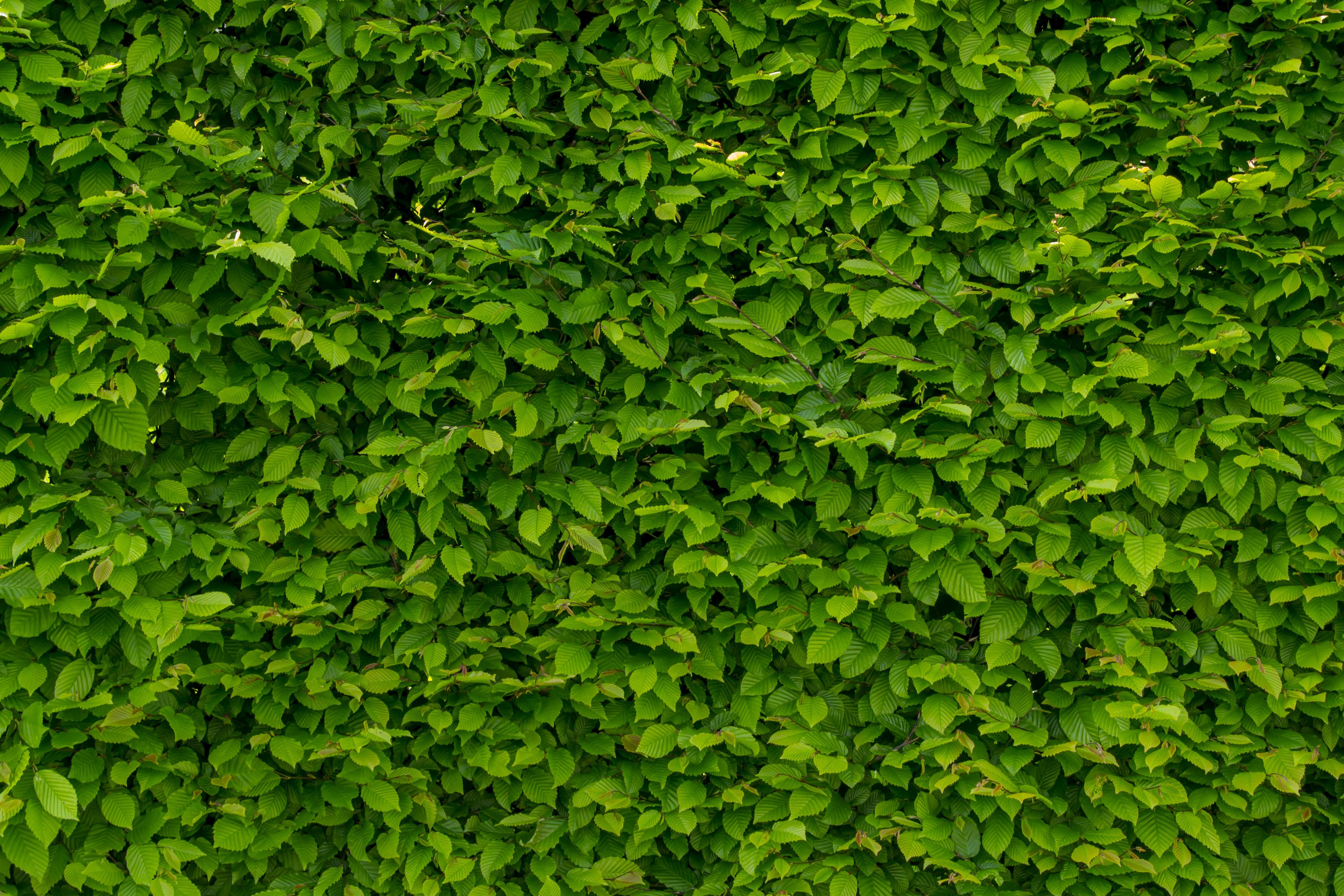plante de haie