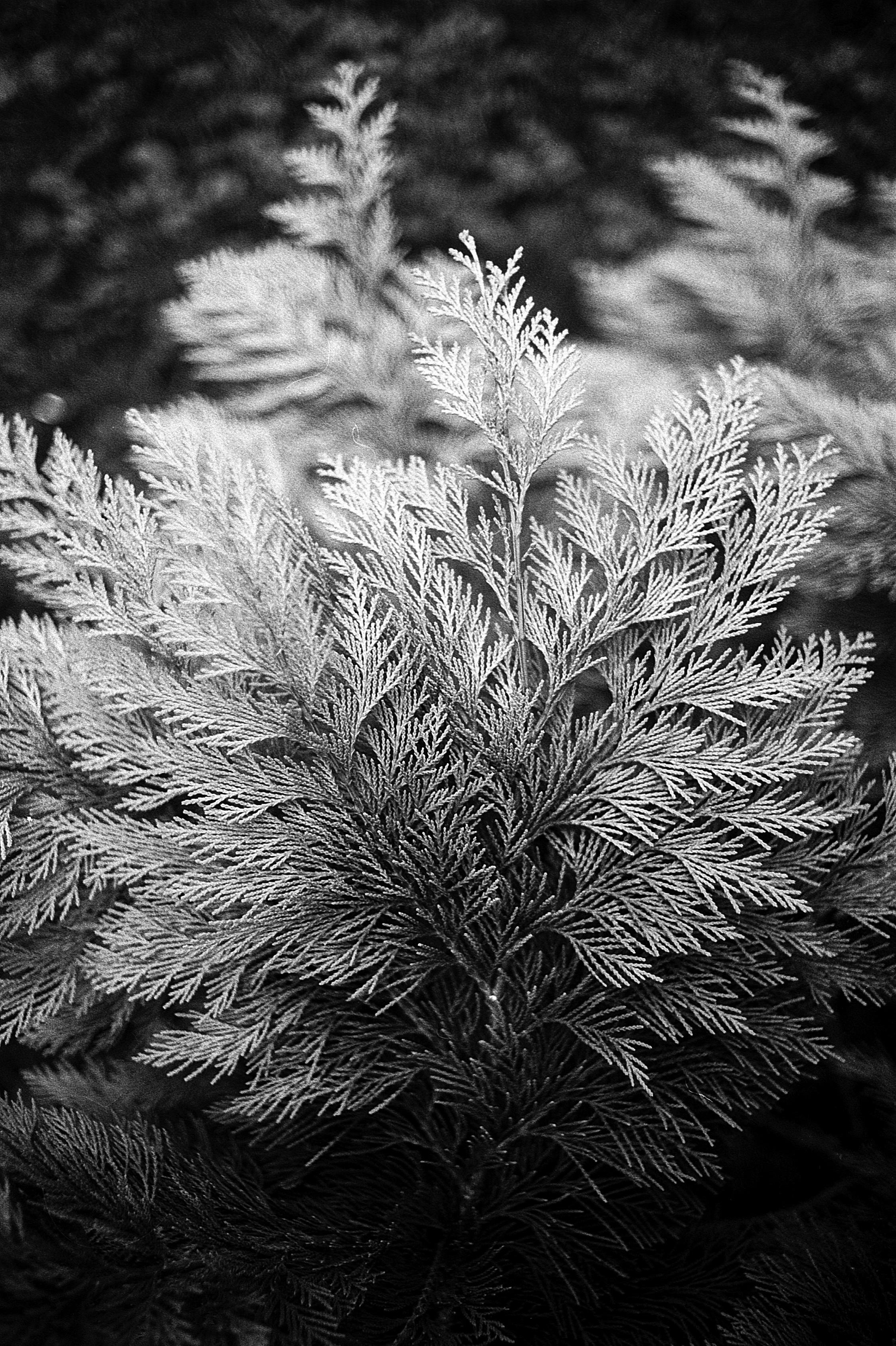 Gambar Pohon Alam Rumput Cabang Hitam Dan Putih Menanam Daun Bunga Embun Beku Kegelapan Satu Warna Flora Merapatkan Fotografi Makro Fotografi Monokrom Kayu Tanaman 2245x3372 89183 Galeri Foto Pxhere