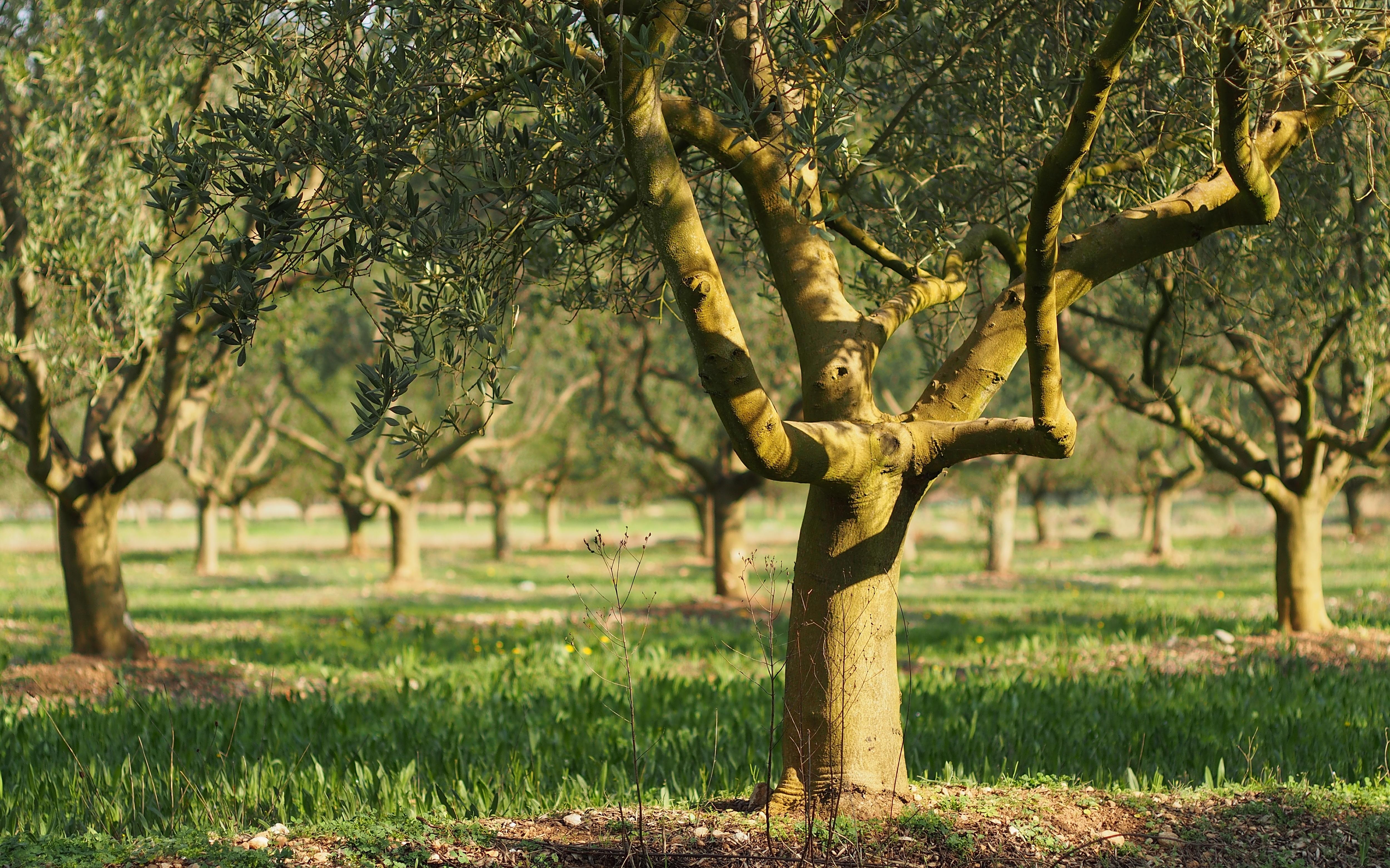 plantation olivier amazing plantation duun olivier centenaire par le paysagiste rouvier romain. Black Bedroom Furniture Sets. Home Design Ideas