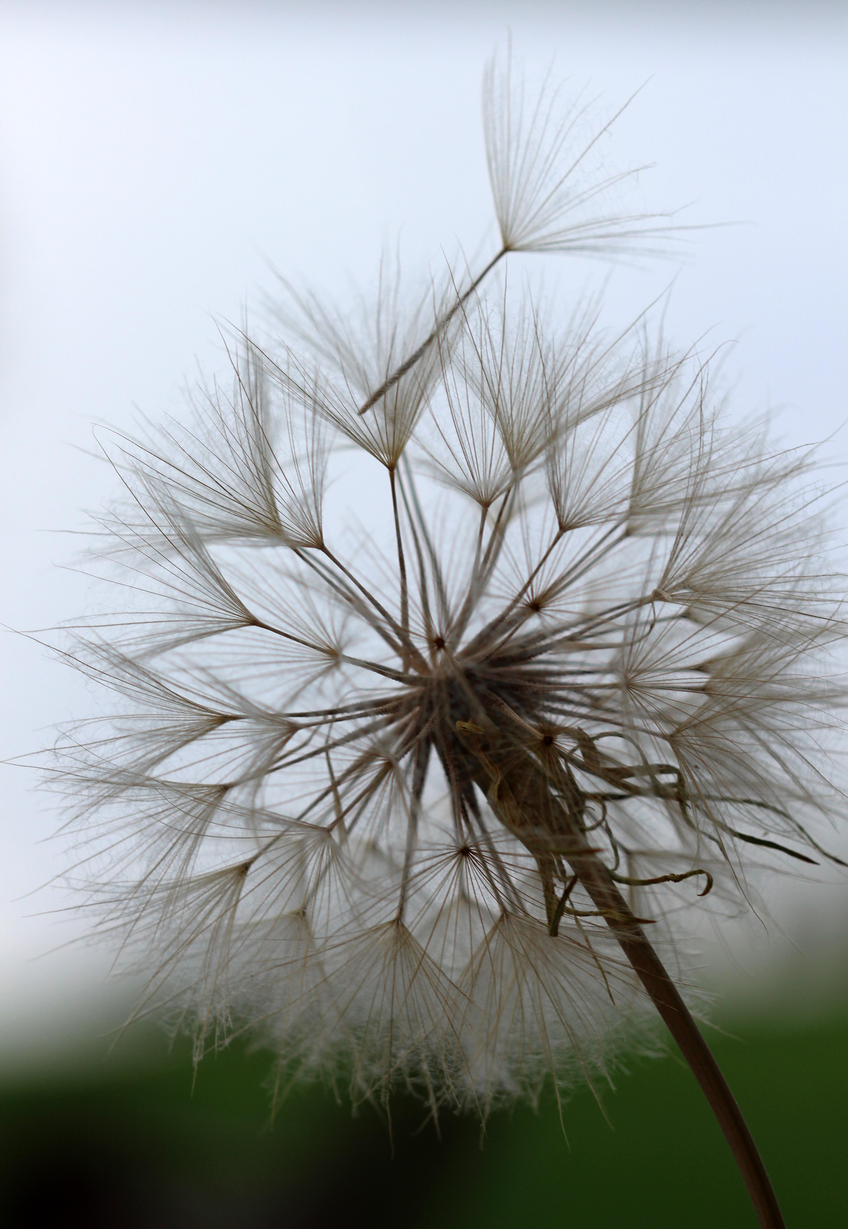 Free Images Tree Nature Branch Dandelion Leaf