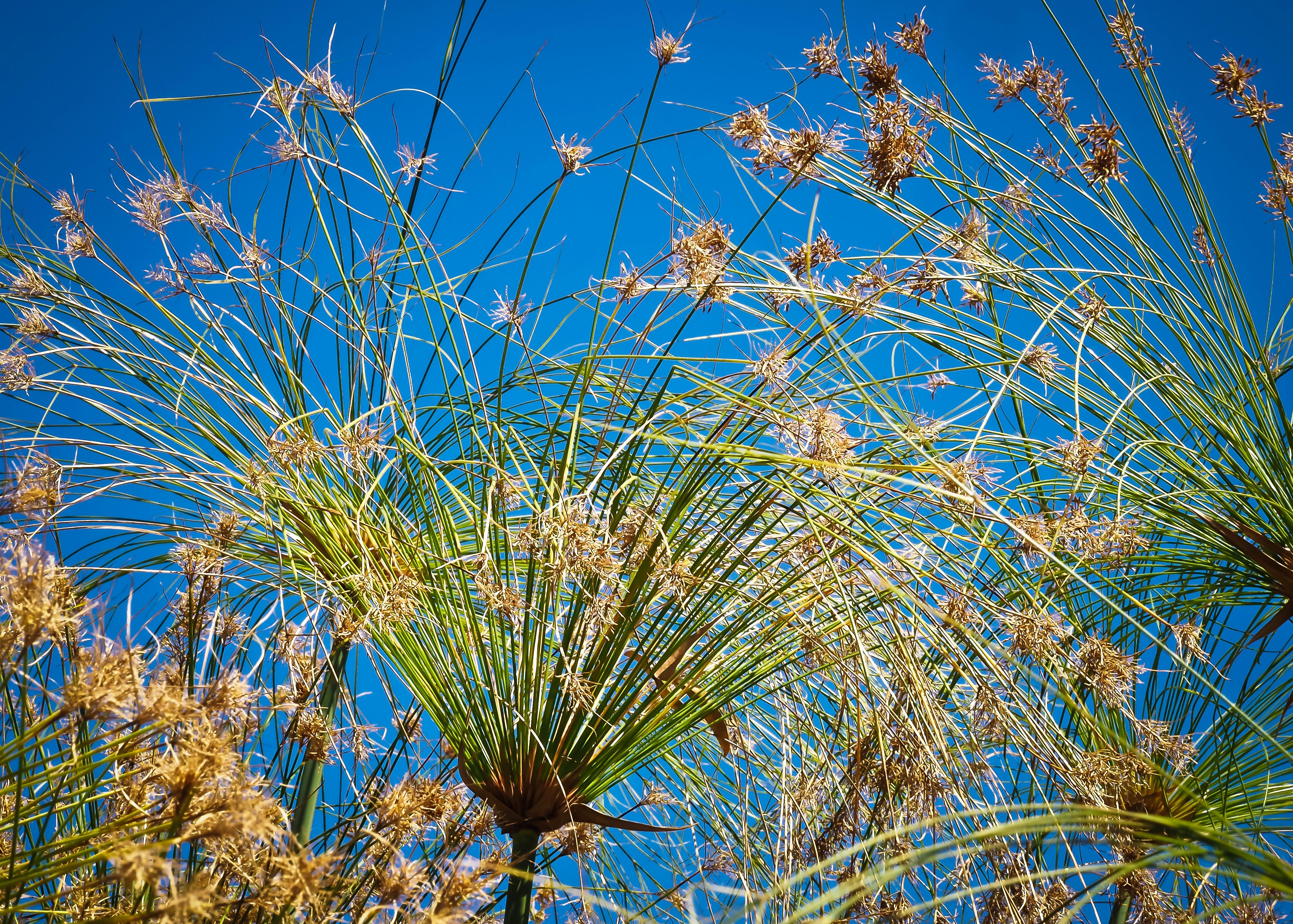 Тростниковые цветы фото несложно, она