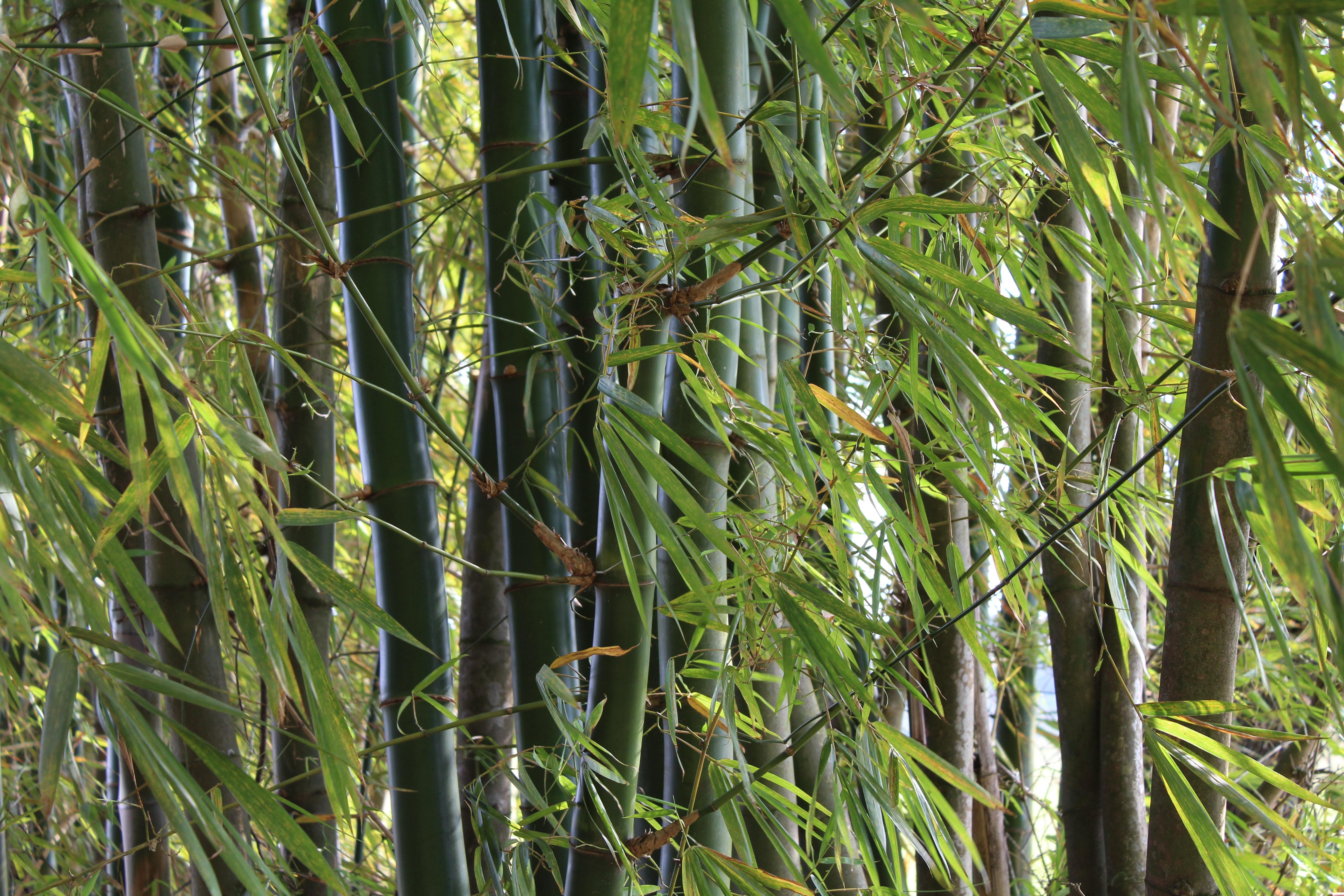 plante exotique bambou