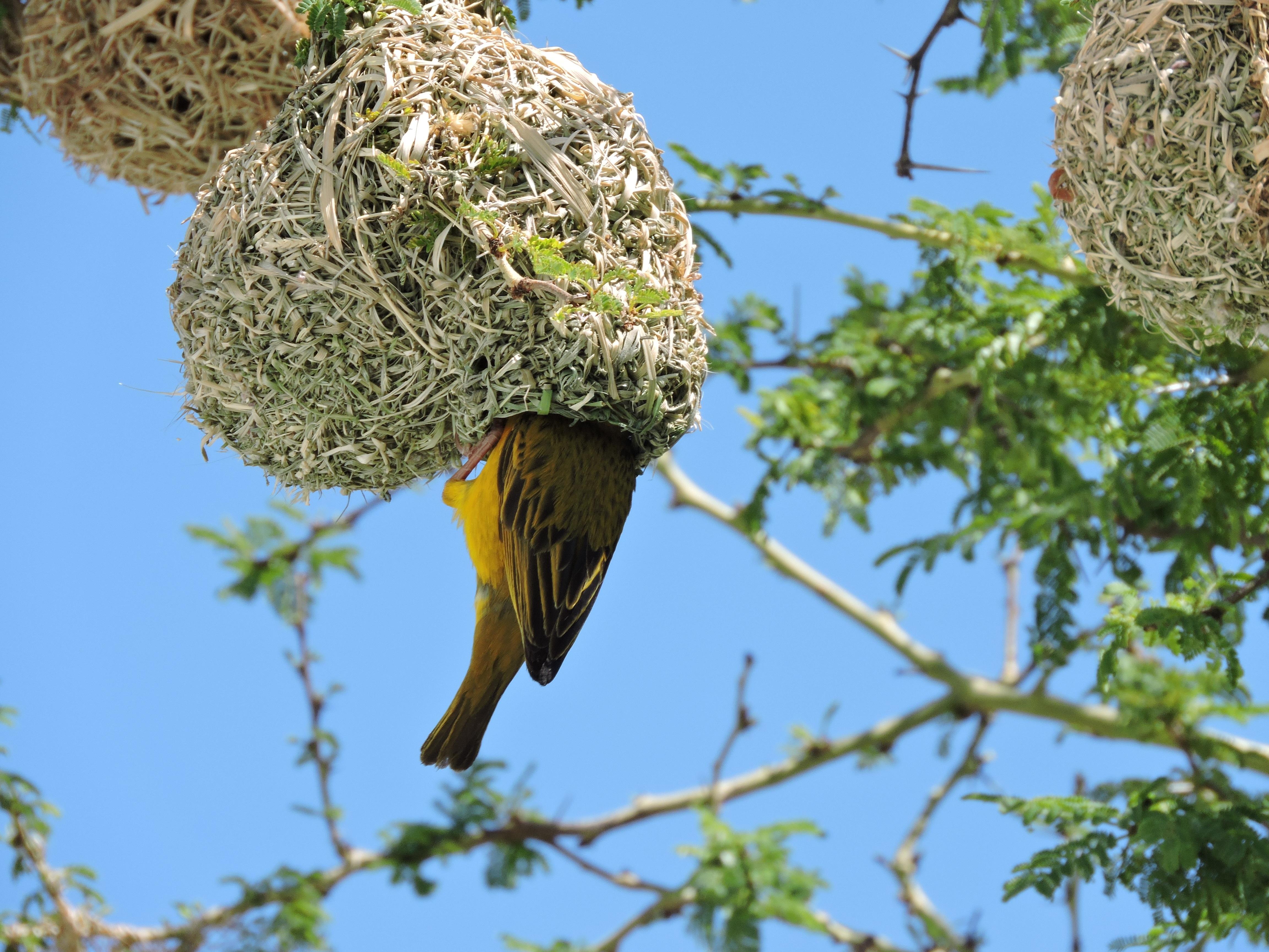 Gratis afbeeldingen : boom natuur gras buitenshuis tak vogel