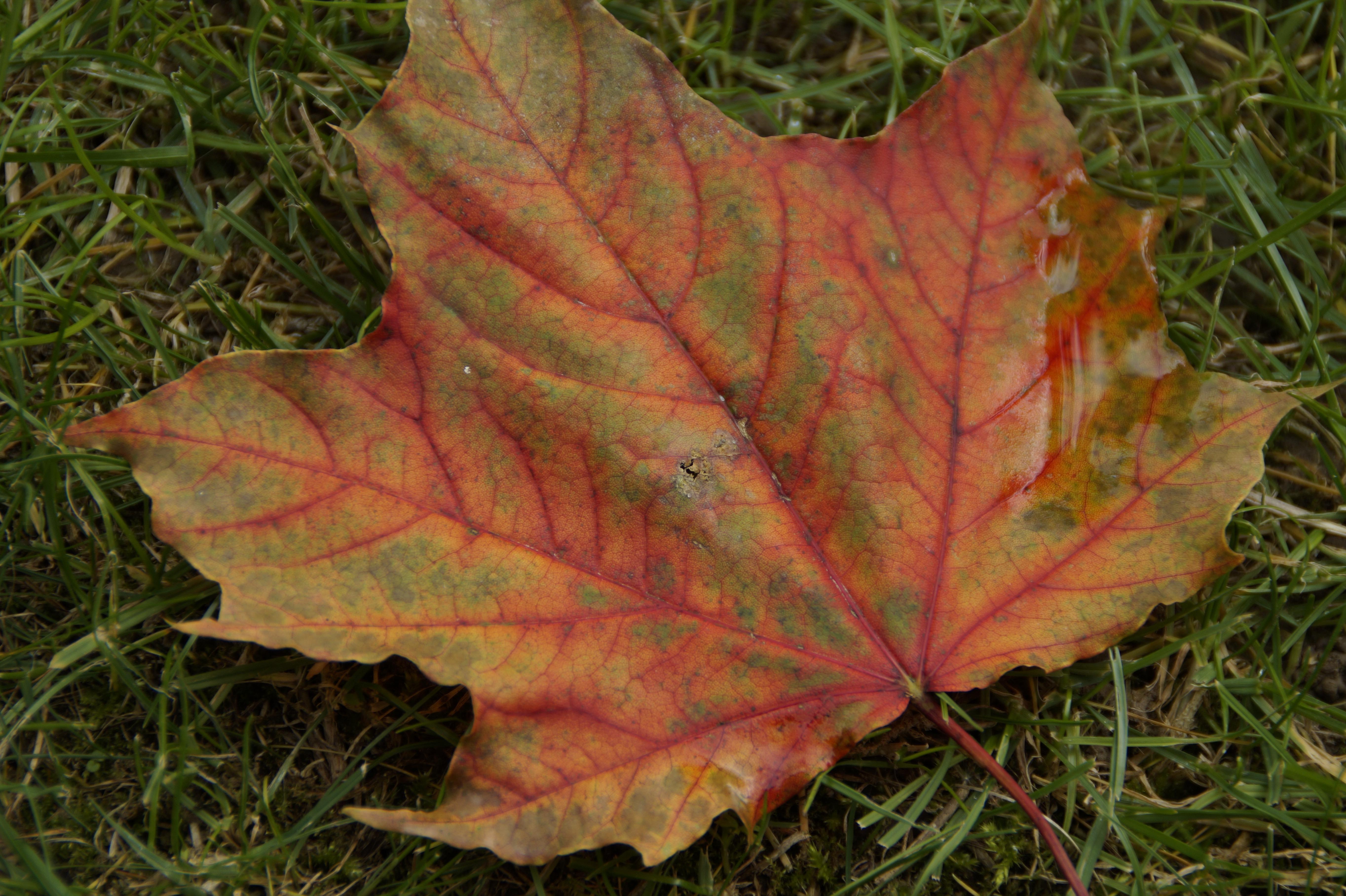 Fotoğraf Ağaç Doğa çimen Bitki Yaprak Renkli Akçaağaç