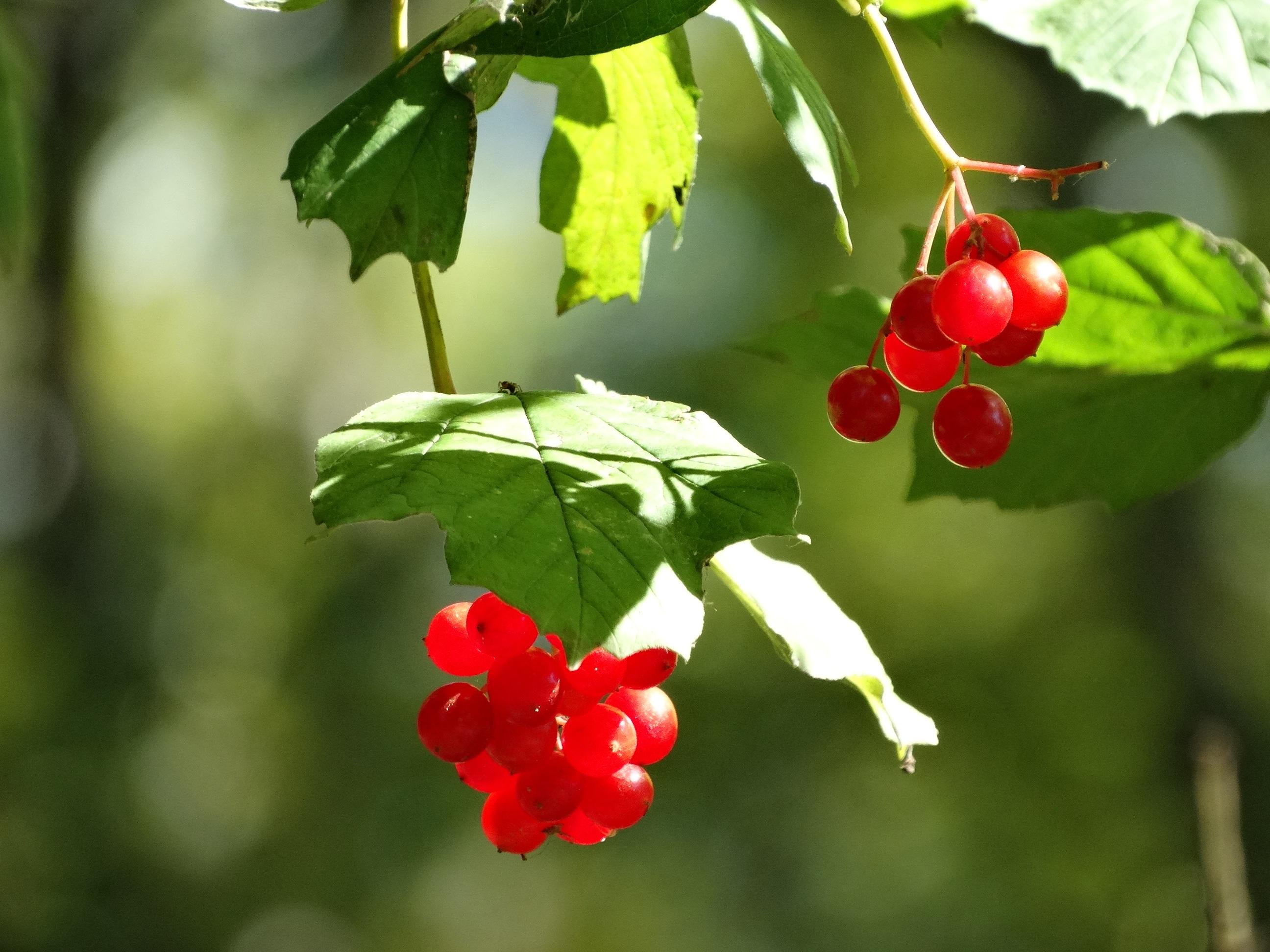 Kostenlose foto : Baum, Natur, draussen, Ast, blühen, Frucht, Beere ...