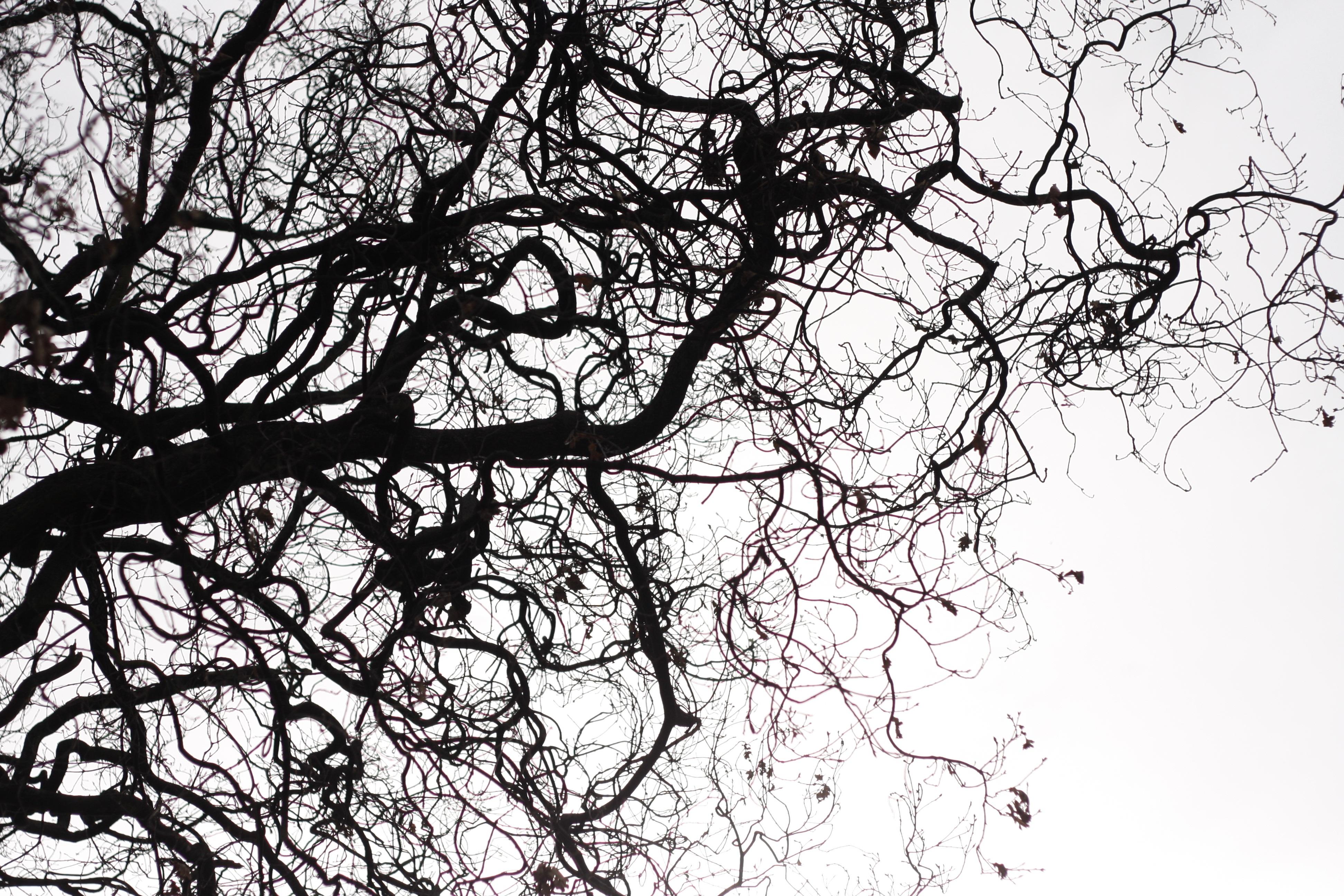 Gambar Pohon Alam Outdoor Cabang Bayangan Hitam