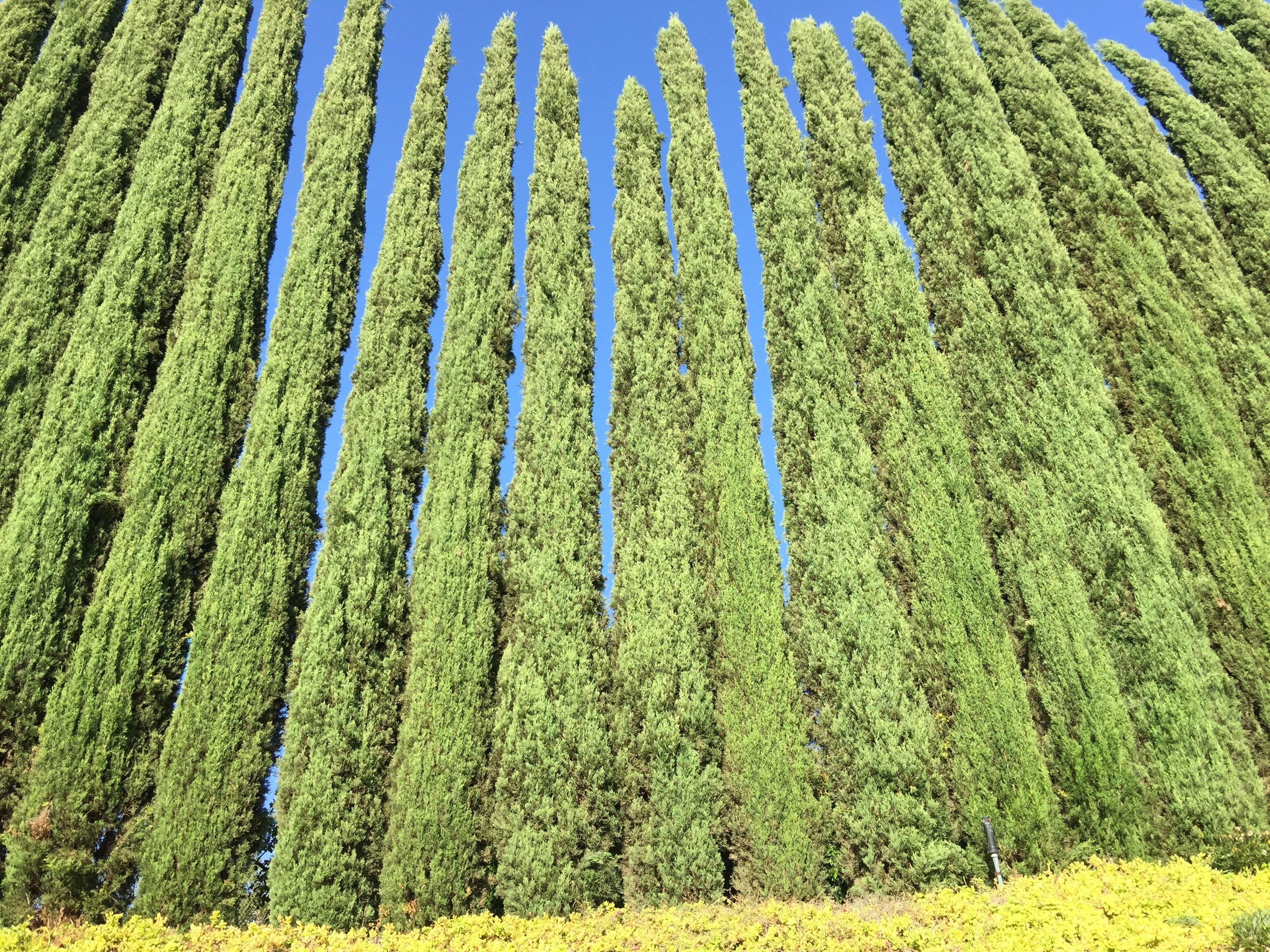 продукты фото вечнозеленые деревья деревьев ним