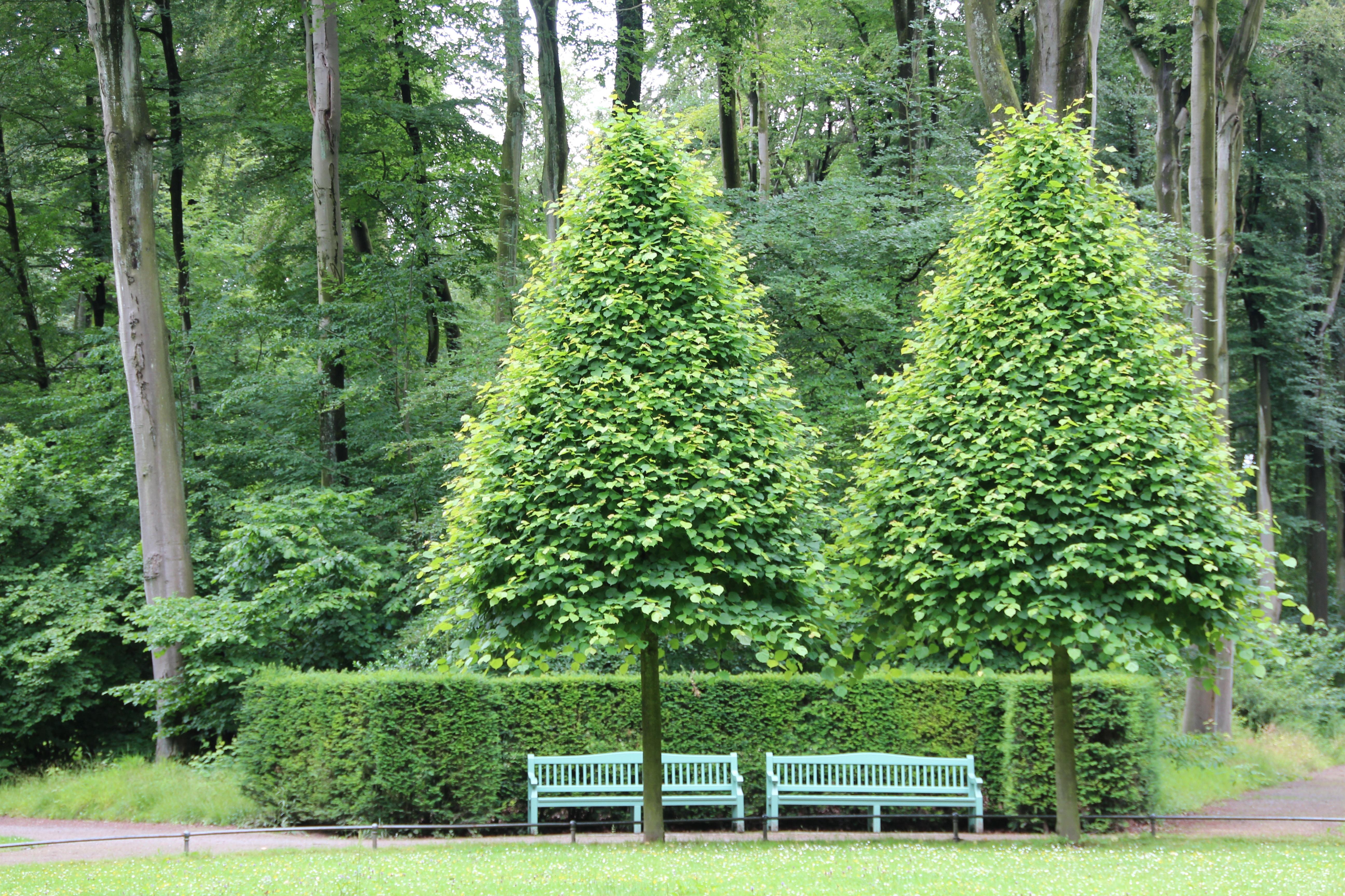 мультиварке готовить фото вечнозеленые деревья деревьев окраски, расположения пестрин