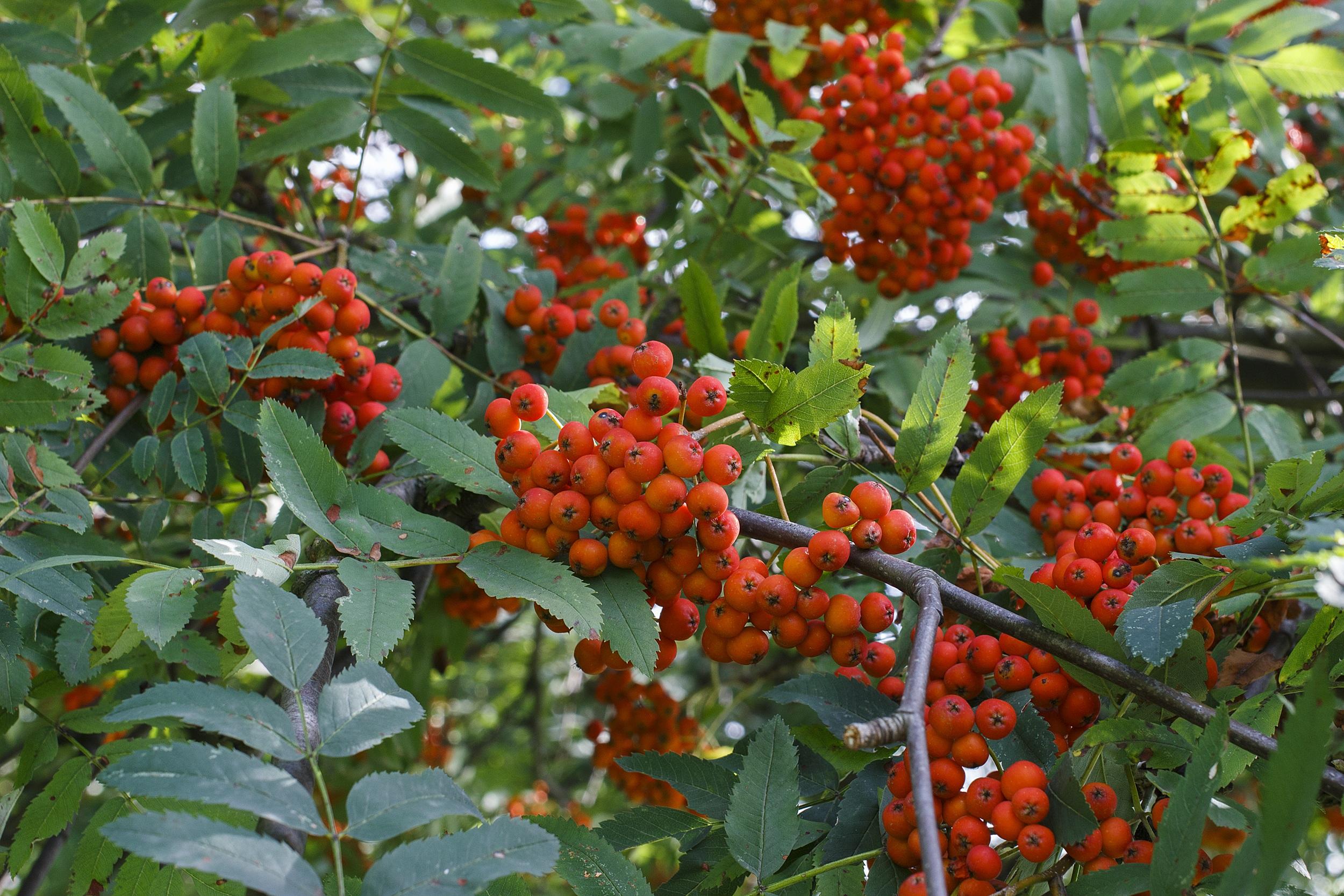 Images gratuites arbre la nature fruit baie fleur for Arbres a feuilles persistantes