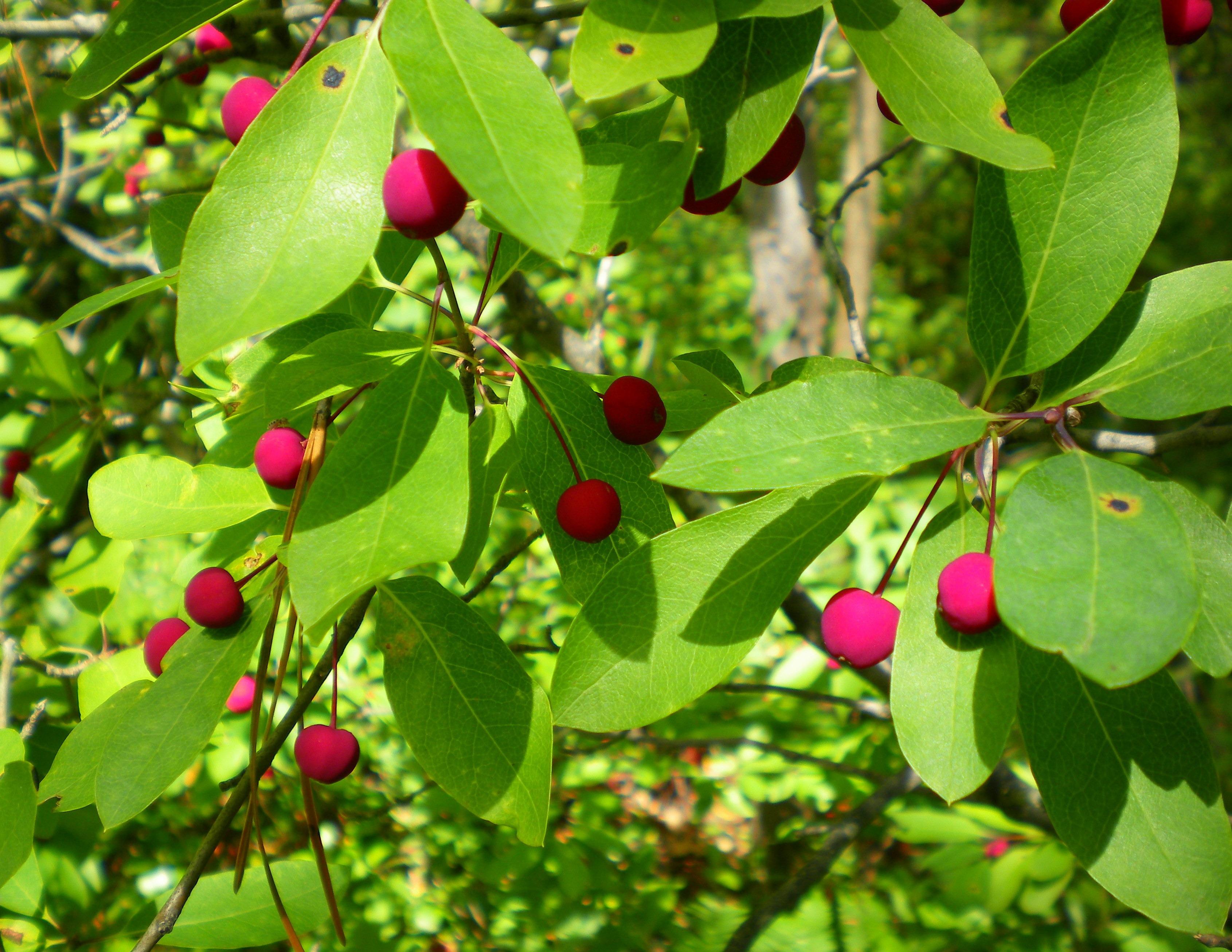 Images gratuites la nature plante fruit baie feuille for Plante 7 feuilles