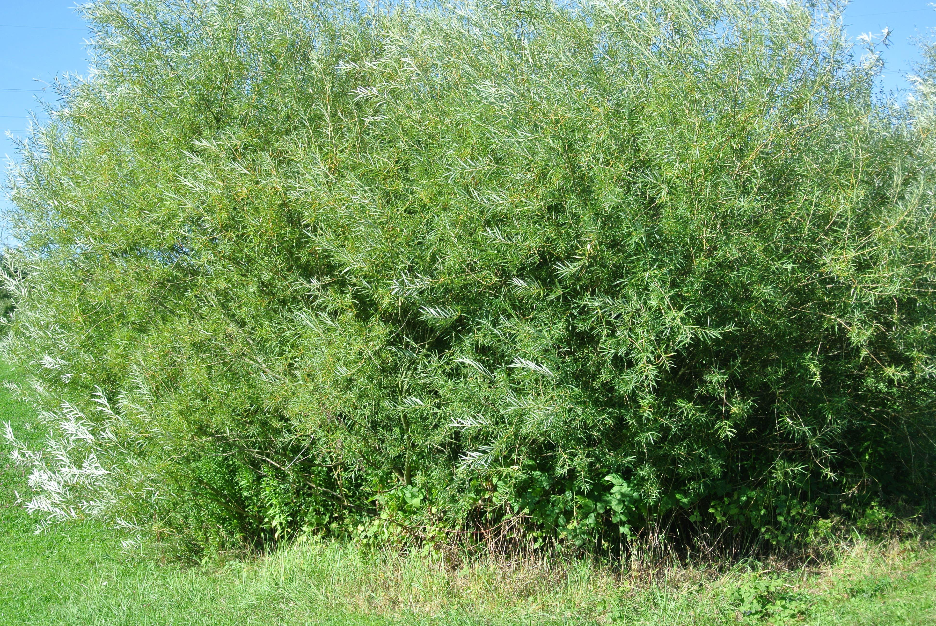 Luxus Busch Immergrün