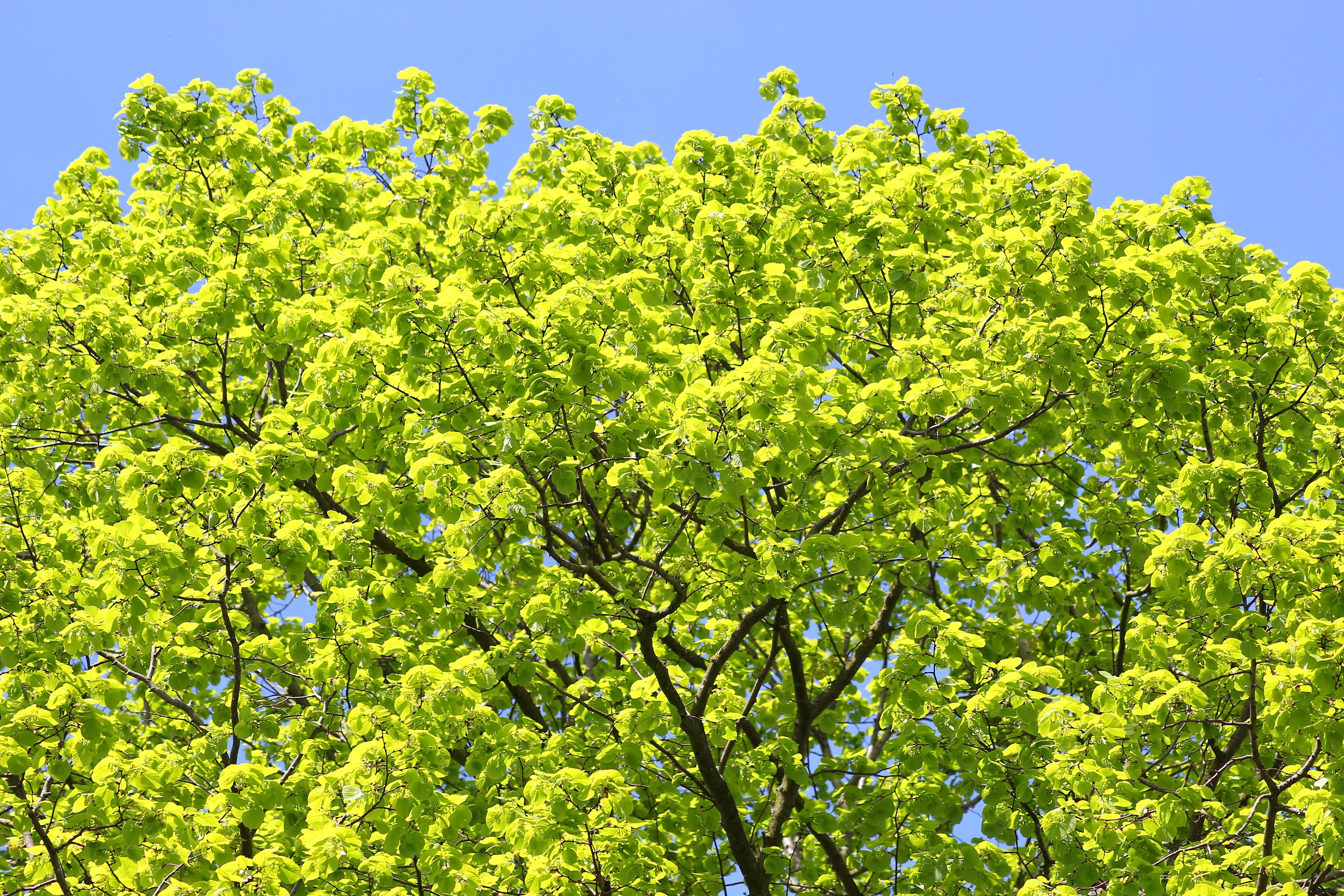 Images gratuites arbre la nature fruit fleur for Arbres a feuilles persistantes
