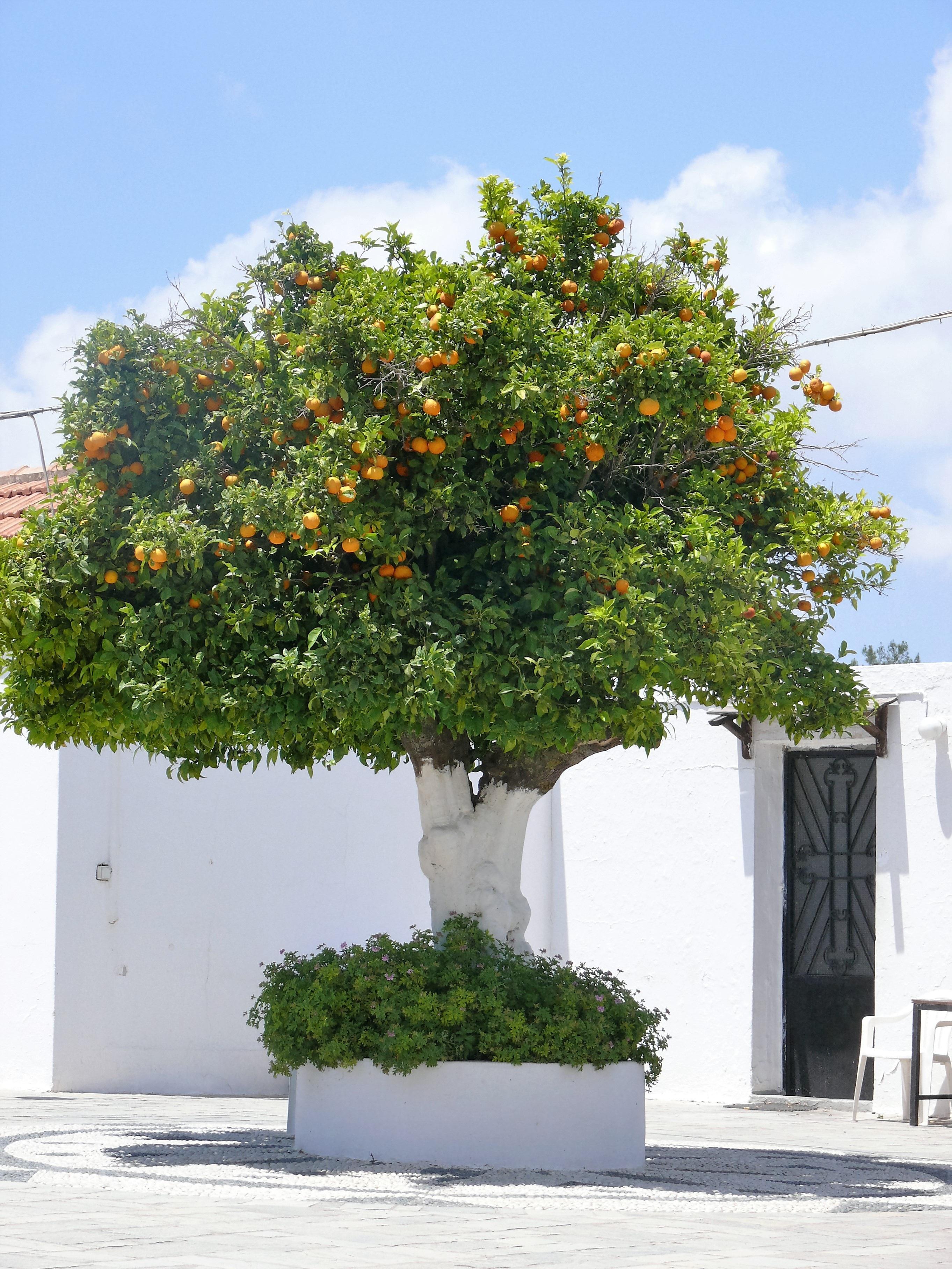 Fotos gratis naturaleza fruta flor naranja hojas for Arboles frutales de hoja caduca