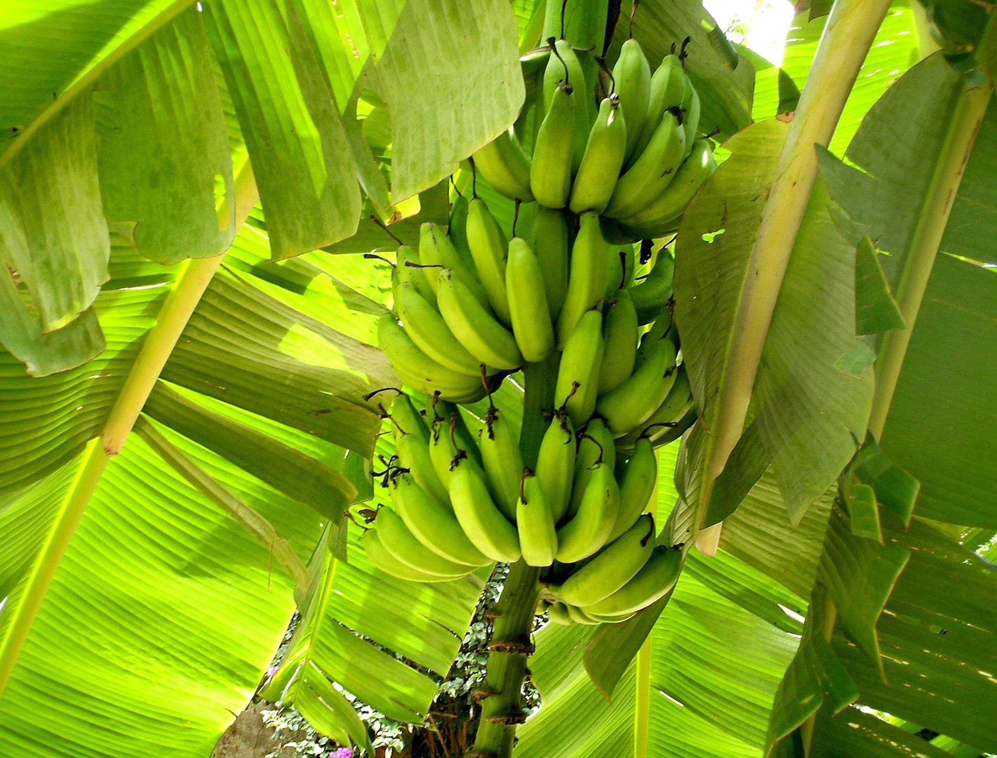 Pianta Di Banana Foto immagini belle : natura, frutta, foglia, fiore, frutteto