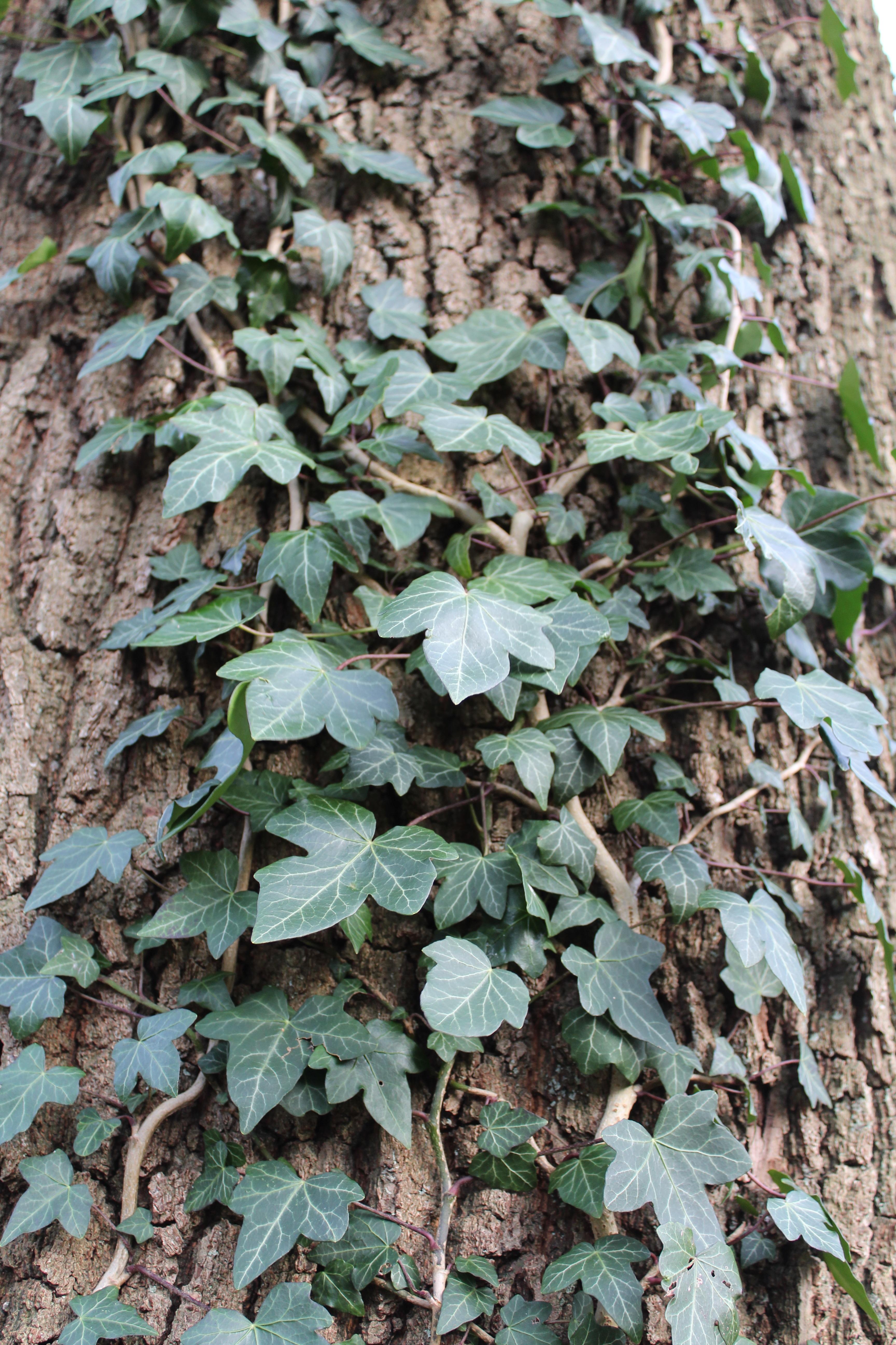free images nature leaf flower log herb produce ivy