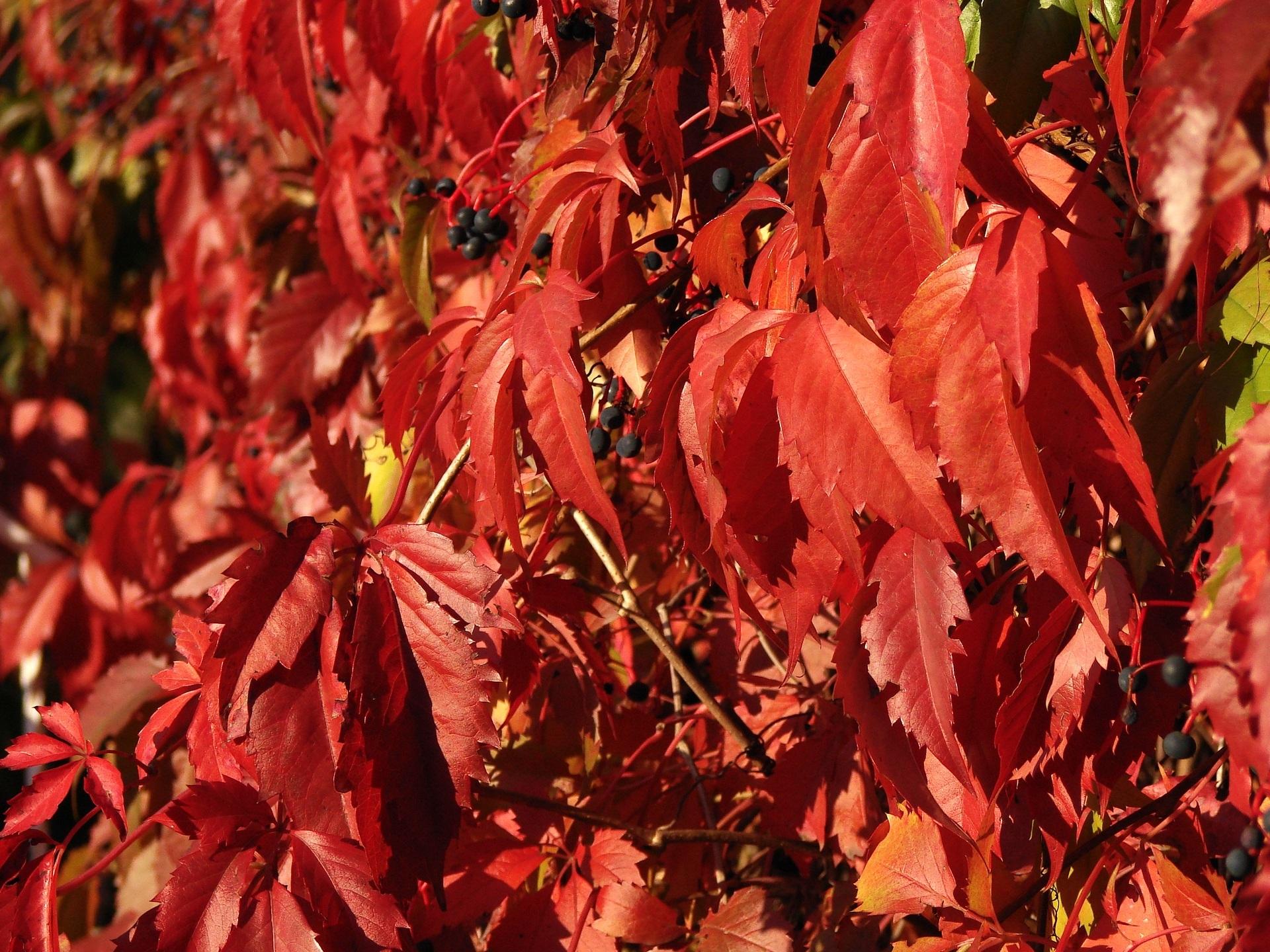 кусты с красными листьями фото и названия самых