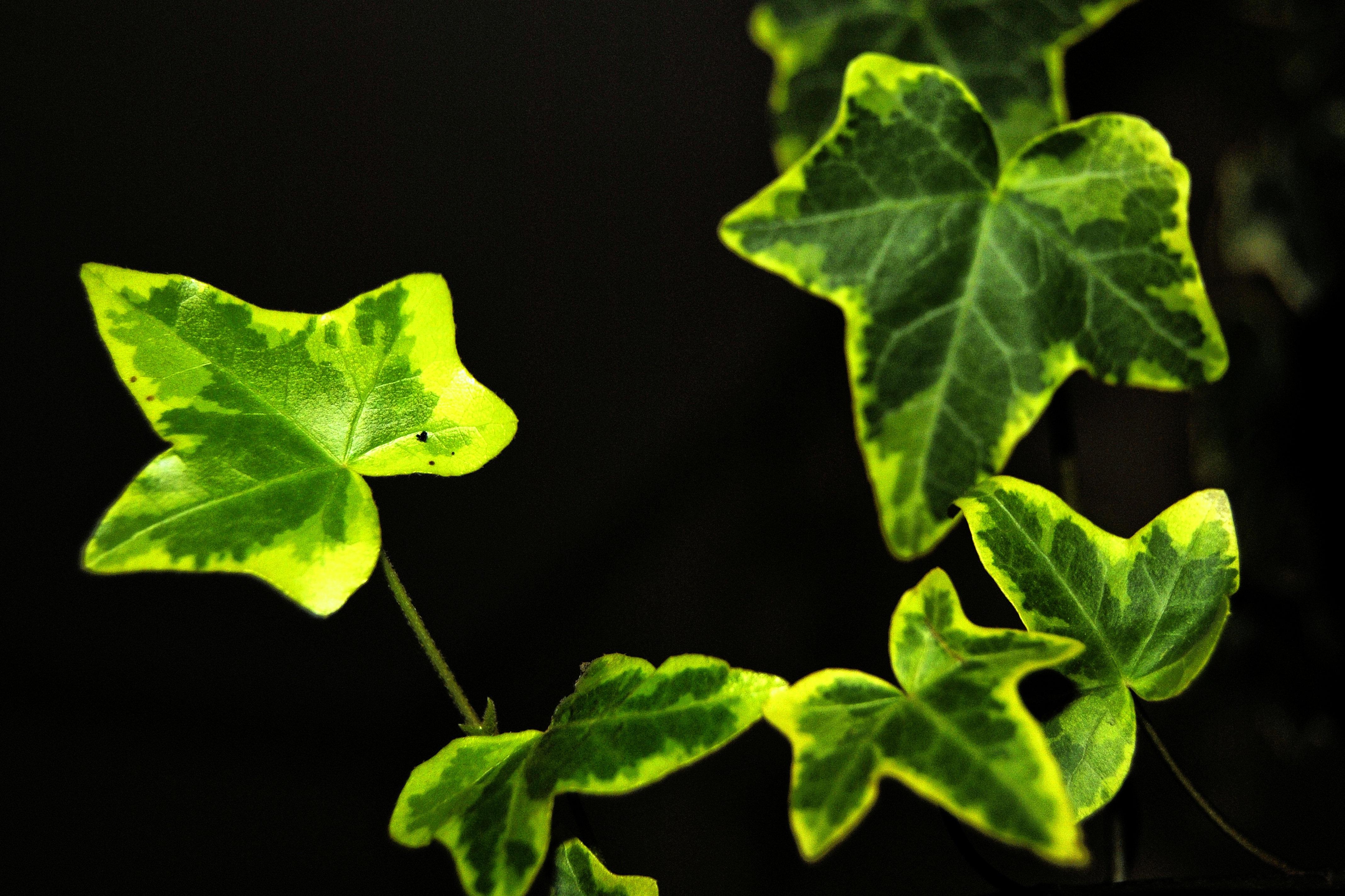 картинки зеленого плюща свою очередь могут