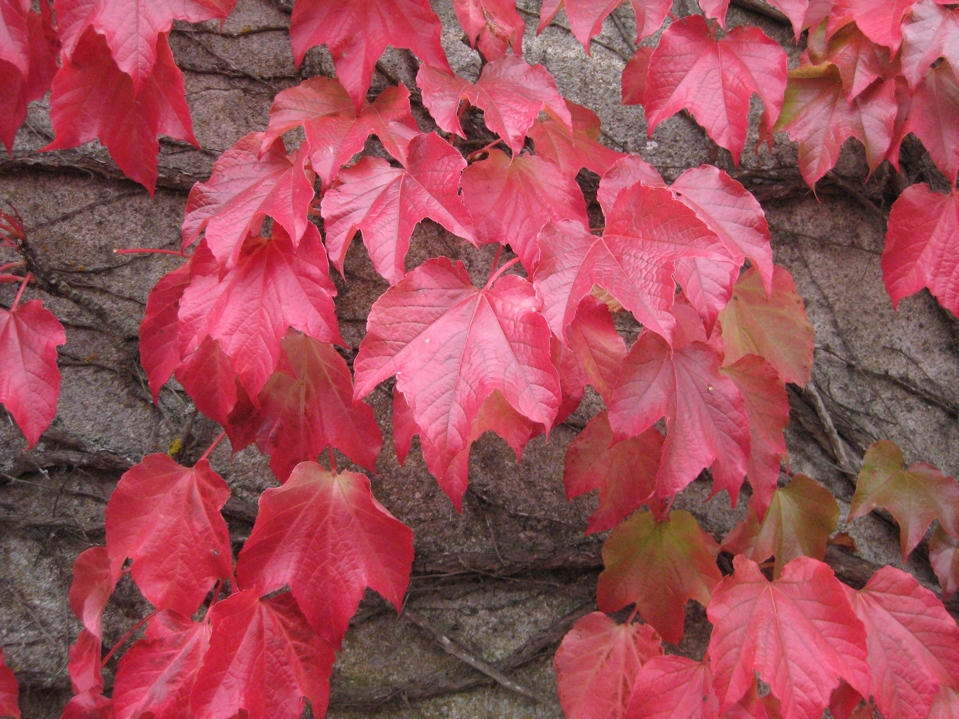 Fotos gratis naturaleza flor p talo rojo hiedra for Arbol rojo jardin