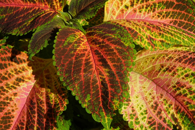 Images gratuites arbre la nature violet floraison t orange vert rouge couleur macro - Plante a feuille rouge ...