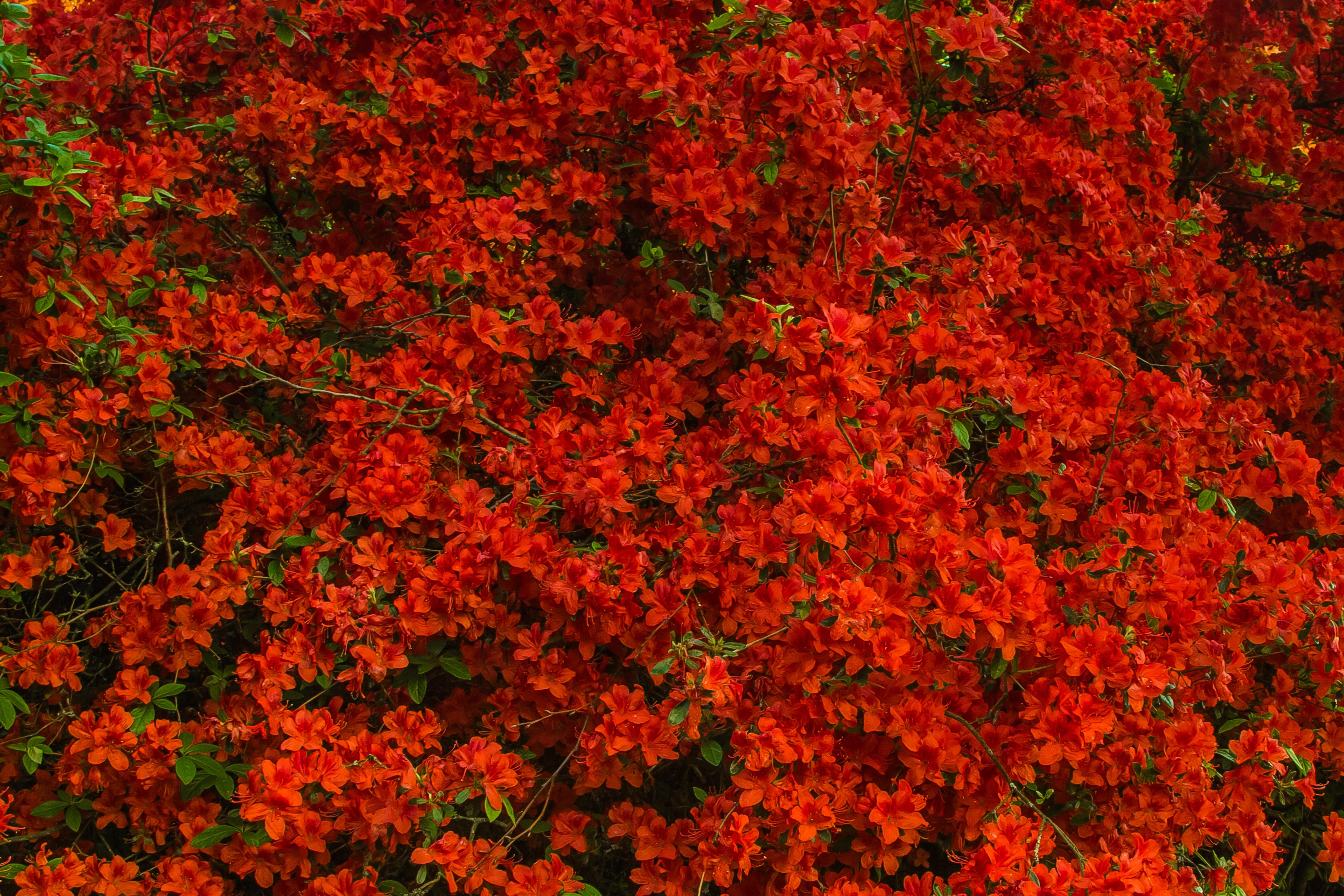 free images tree nature leaf flower red autumn season